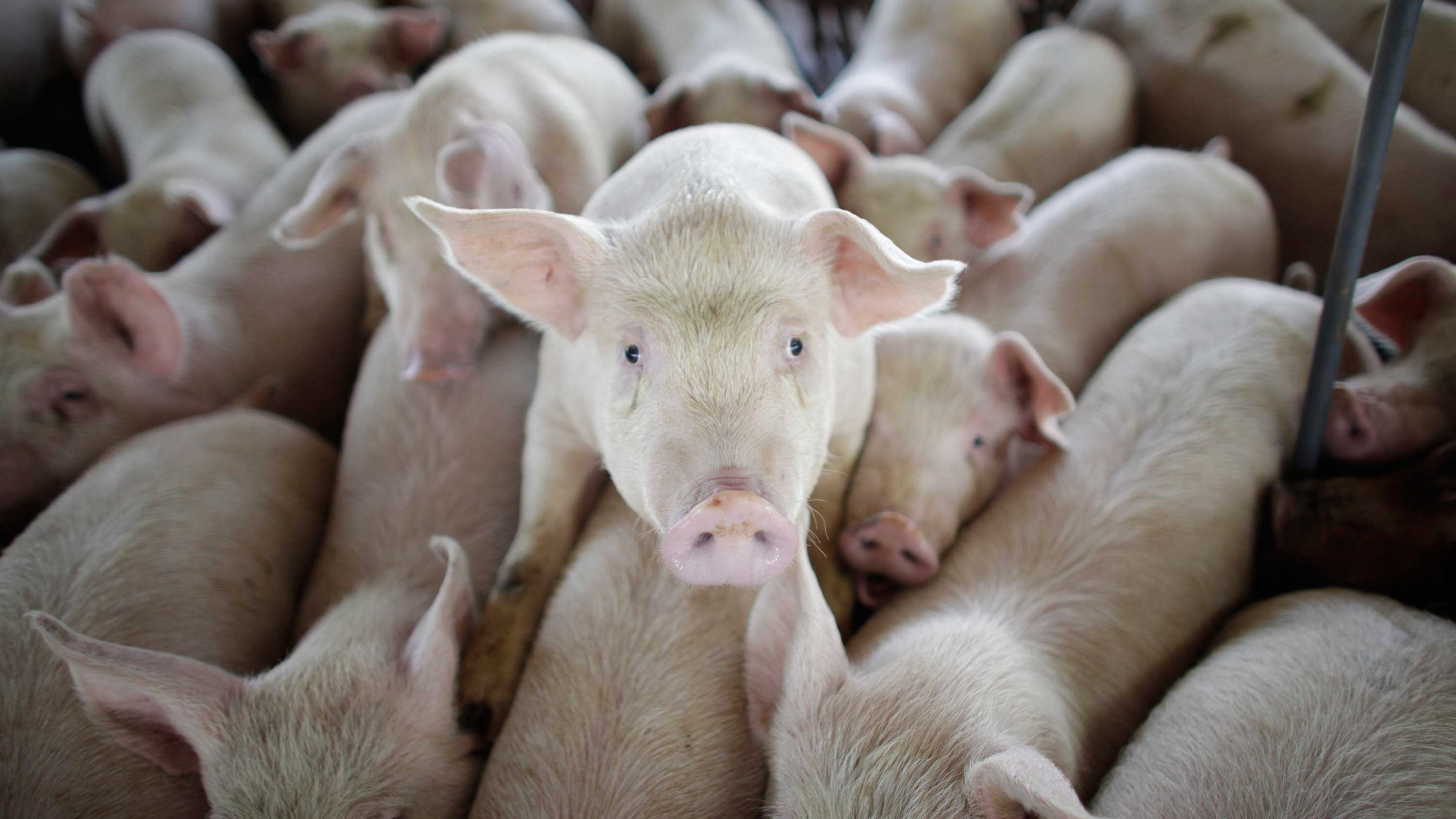 Pigs are seen on a farm run by Granjas Carroll de Mexico on the outskirts of Xicaltepec in Mexico's Veracruz state, Monday, April 27, 2009.
