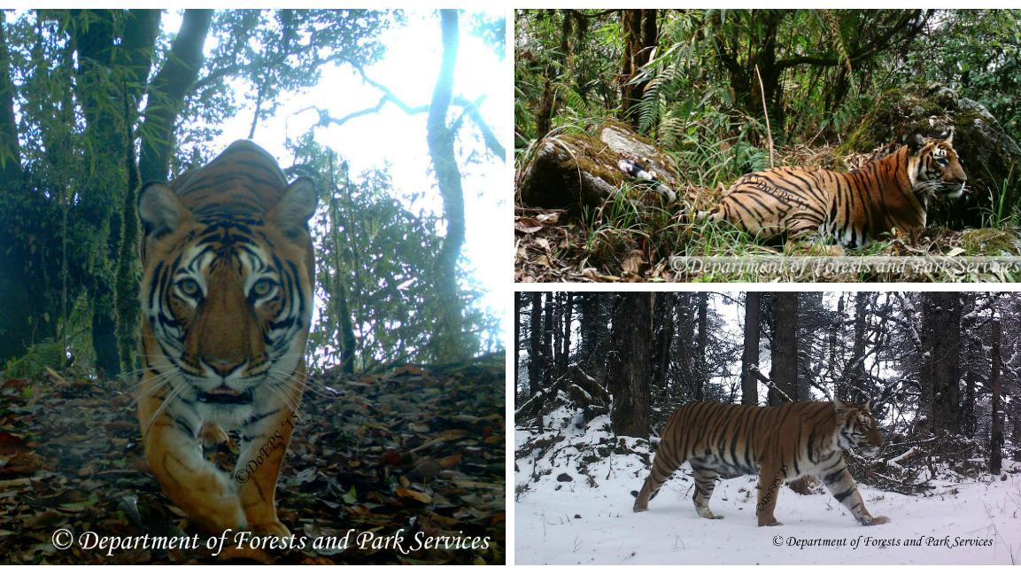 Bhutan-Tigers-India