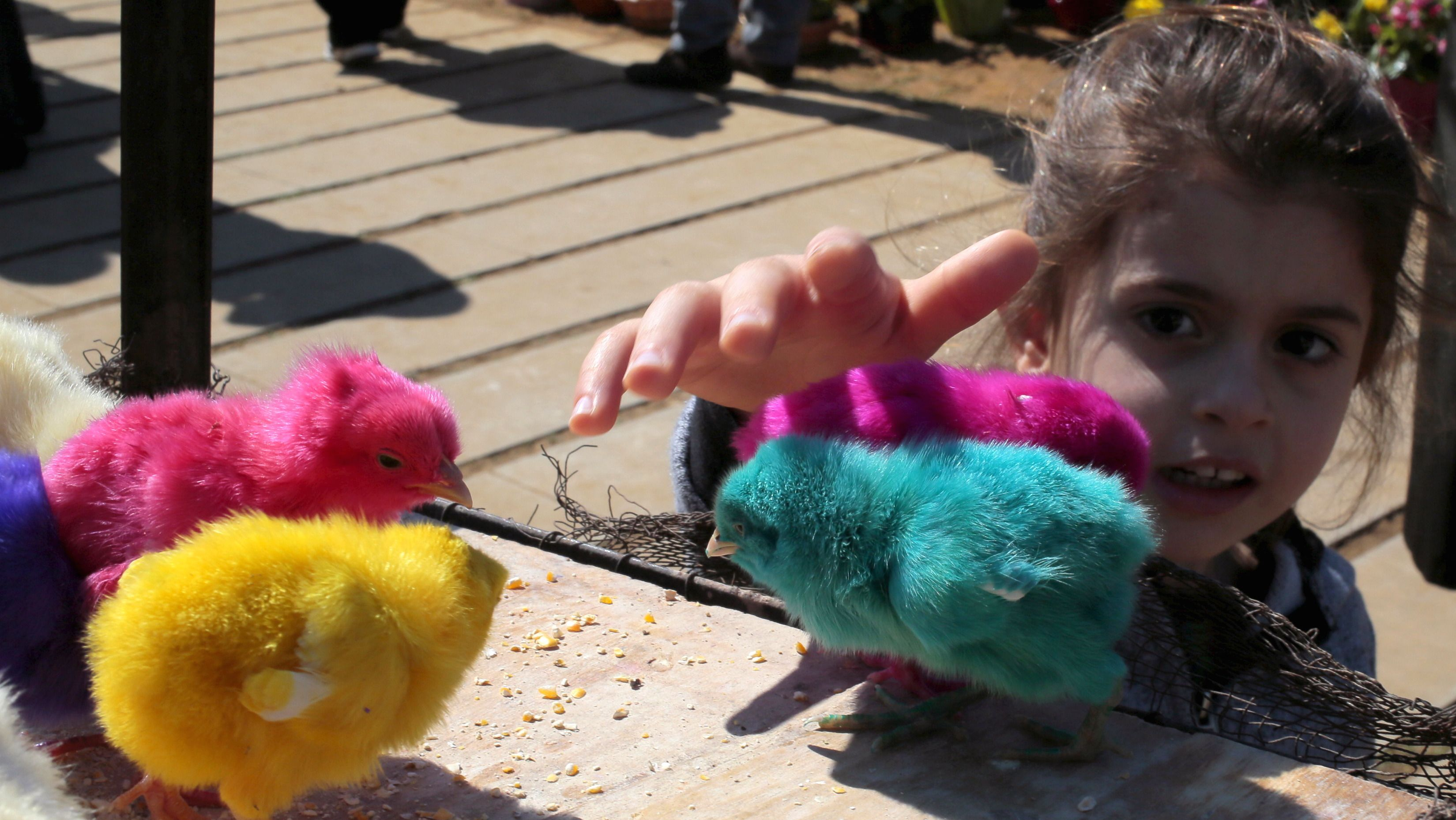 A girl plays with coloured chicks for sale prior to Easter celebrations in Byblos March 22, 2015.  REUTERS/Jamal Saidi - RTR4UEQC