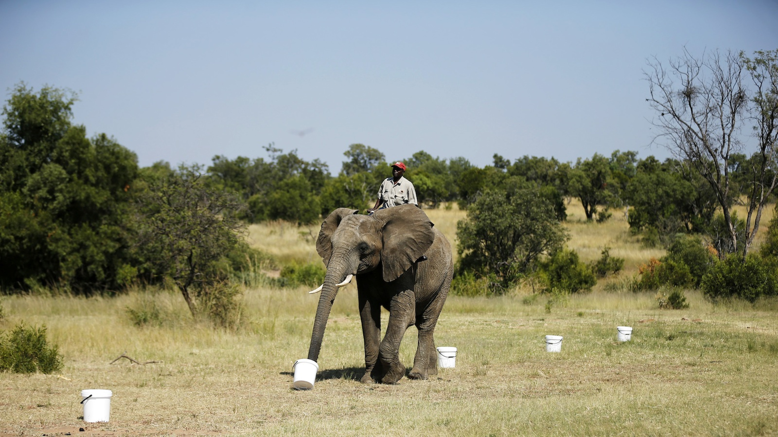 A ranger sits astride an African elephant performing a biodetection drill.
