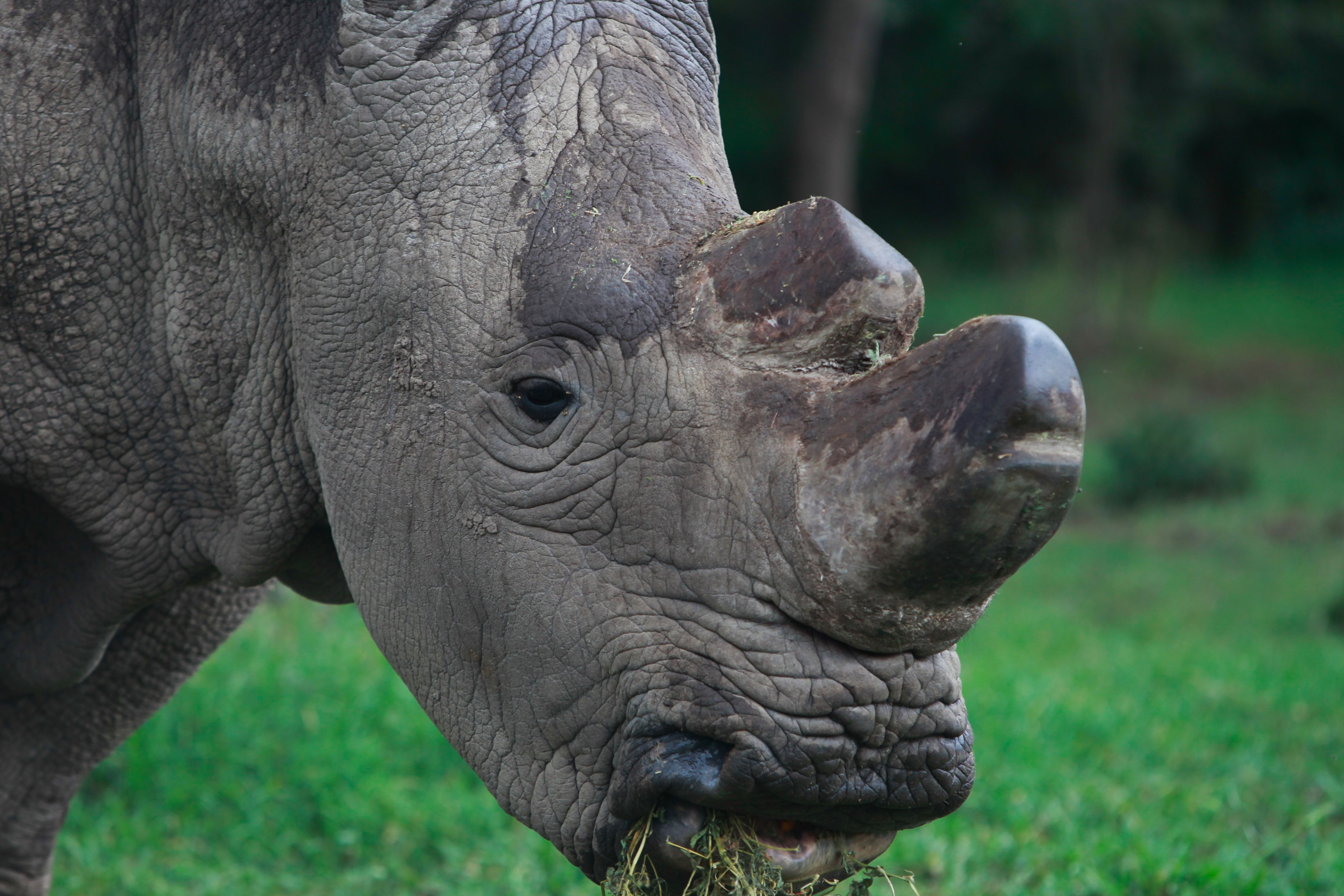 epa04764805 A picture made available 24 May 2015 shows Sudan, the last male northern white rhino in the world, feeding at the Ol Pejeta Conservancy in Nanyuki, Kenya, 23 May 2015. Sudan is under 24-hour protection along with females Najin and Fatu. They are surrounded by electric fencing and watched over by rangers with loaded rifles. Their horns have been cut off to deter poachers. If Sudan does not reproduce soon, with the help of a pioneering South African veterinarian, the species will become extinct. Rhino horn - which is primarily made of keratin, a protein also found in hair and fingernails - is in high demand in Asia, where it is believed to boost sexual potency.  EPA/DANIEL IRUNGU