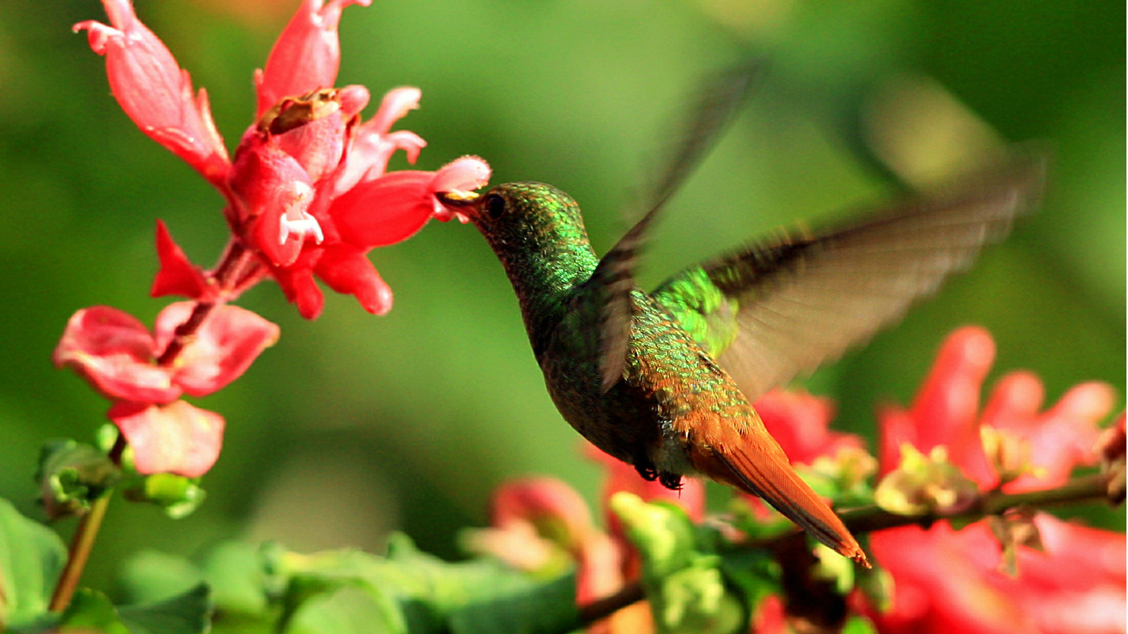 PHOTO TAKEN 12JAN06 - A Rufous-tailed Hummingbird (Amazilia rabirrufa) hovers while drinking from a flower at La Selva biological station in Sarapiqui, 80 miles (129 km) north of San Jose, Costa Rica January 12, 2006. The Selva is one of the world's most important sites for tropical ecosystem research. [La Selva has about 73% of its area under primary tropical rain forest. Each year, more than 250 scientists from some 25 countries and international students come to La Selva to study tropical ecology. Species diversity include more than, 330 species of trees, and 43 species of birds. Picture taken January 12.]