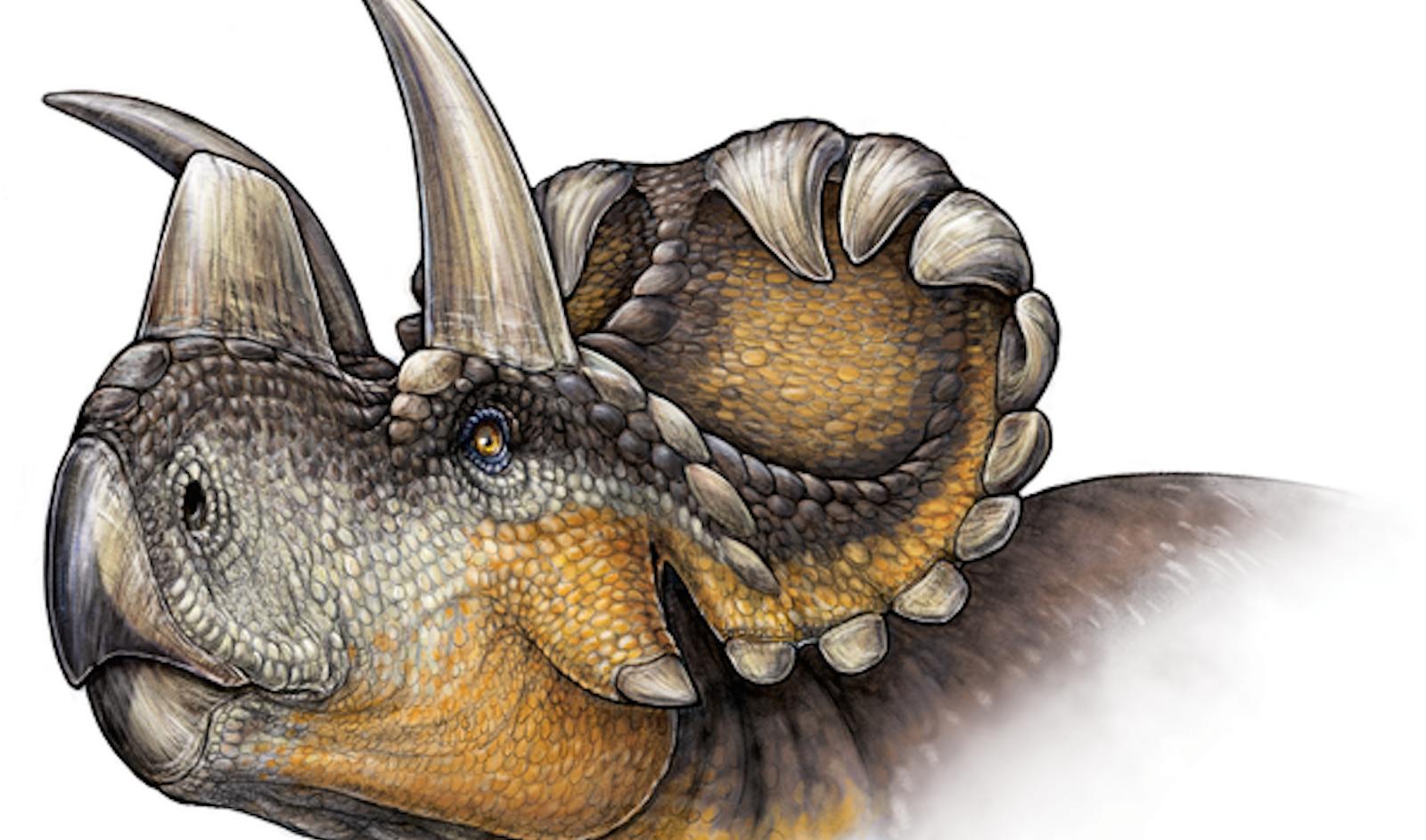 An artist rendering of the new Wendiceratops pinhornensis