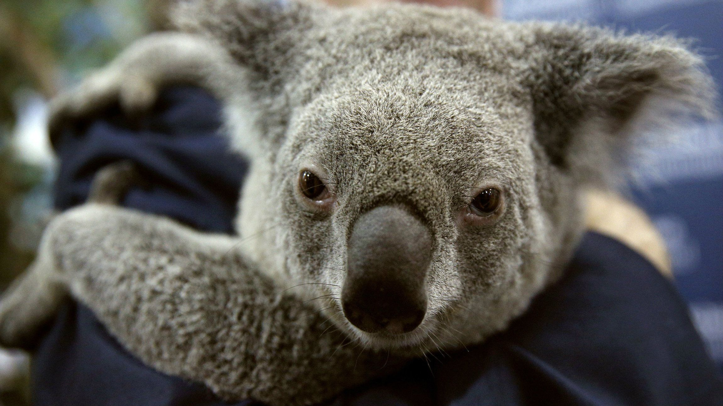 A $1.2 billion Chinese coal mine could prove fatal for the koalas of New South Wales. According to conservationists, the construction of the Shenhua's Watermark coal mine near the Liverpool Plains will destroy the marsupial's habitat and affect their long-term survival.