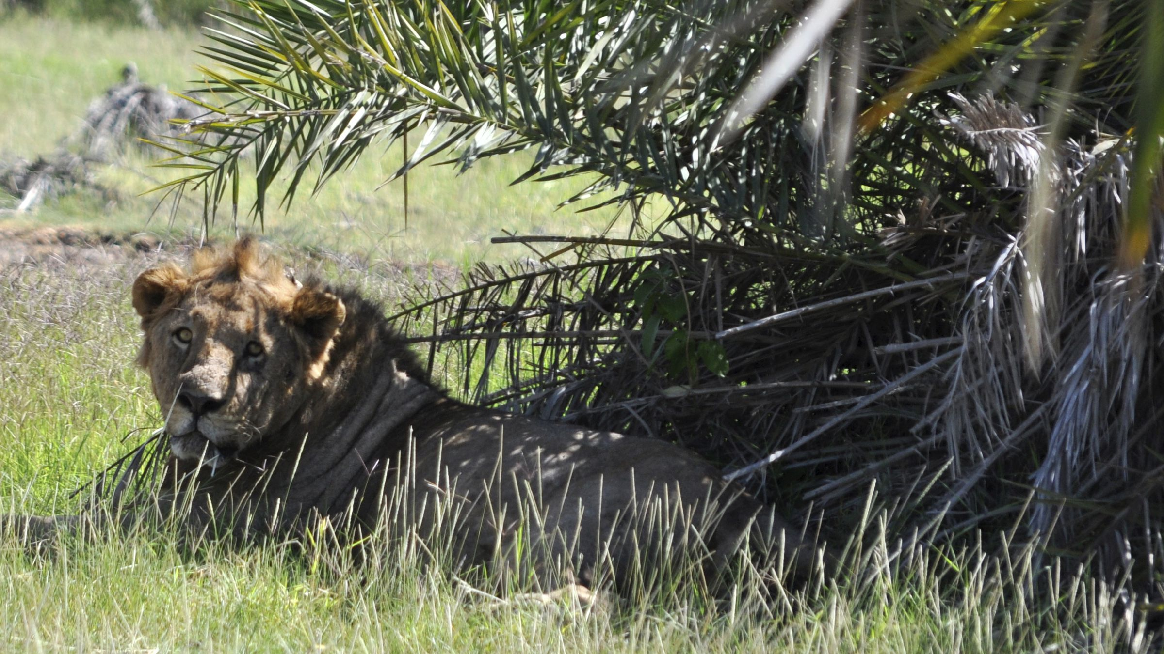 A lion rests in the shade of a tree in the Amboseli national park 290 km (188 miles) southeast of Kenya's capital Nairobi, February 10, 2010.