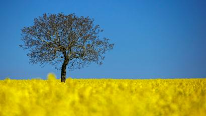 A tree is pictured in a blooming rapeseed field on a spring morning in Vufflens-la-Ville near Lausanne April 23, 2015.