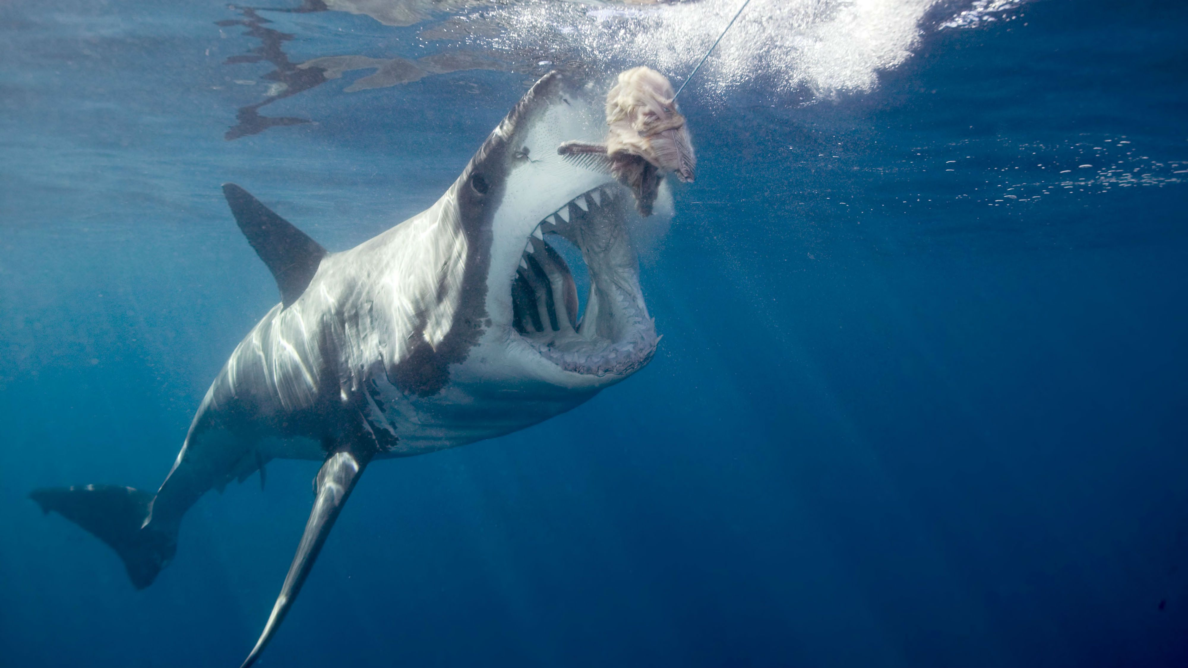 No More Megalodon Discovery Channel Promises A More Scientific Shark Week This Year Quartz