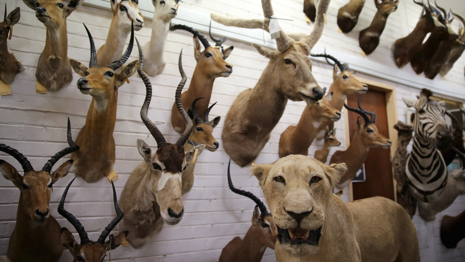 Animal trophies are seen at the entrance of a taxidermy studio in Pretoria, South Africa.