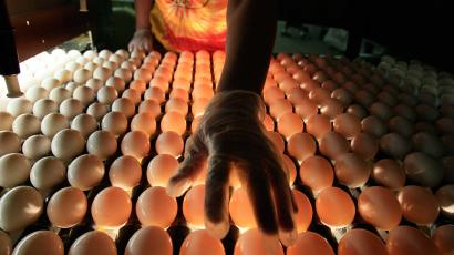 A United States Department of Agriculture inspector checks eggs at Maine Contract Farming, Thursday, July 1, 2010, in Turner, Maine.