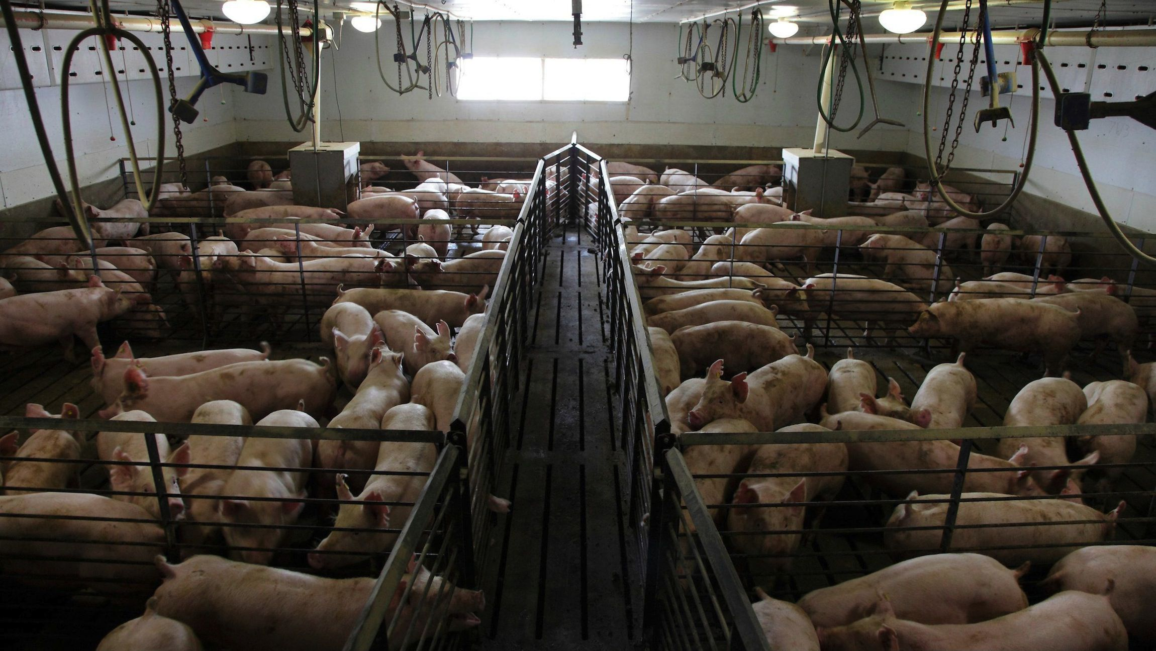 It is cheaper for hog producers like WH Group to raise hogs in the United States and ship them back to China.