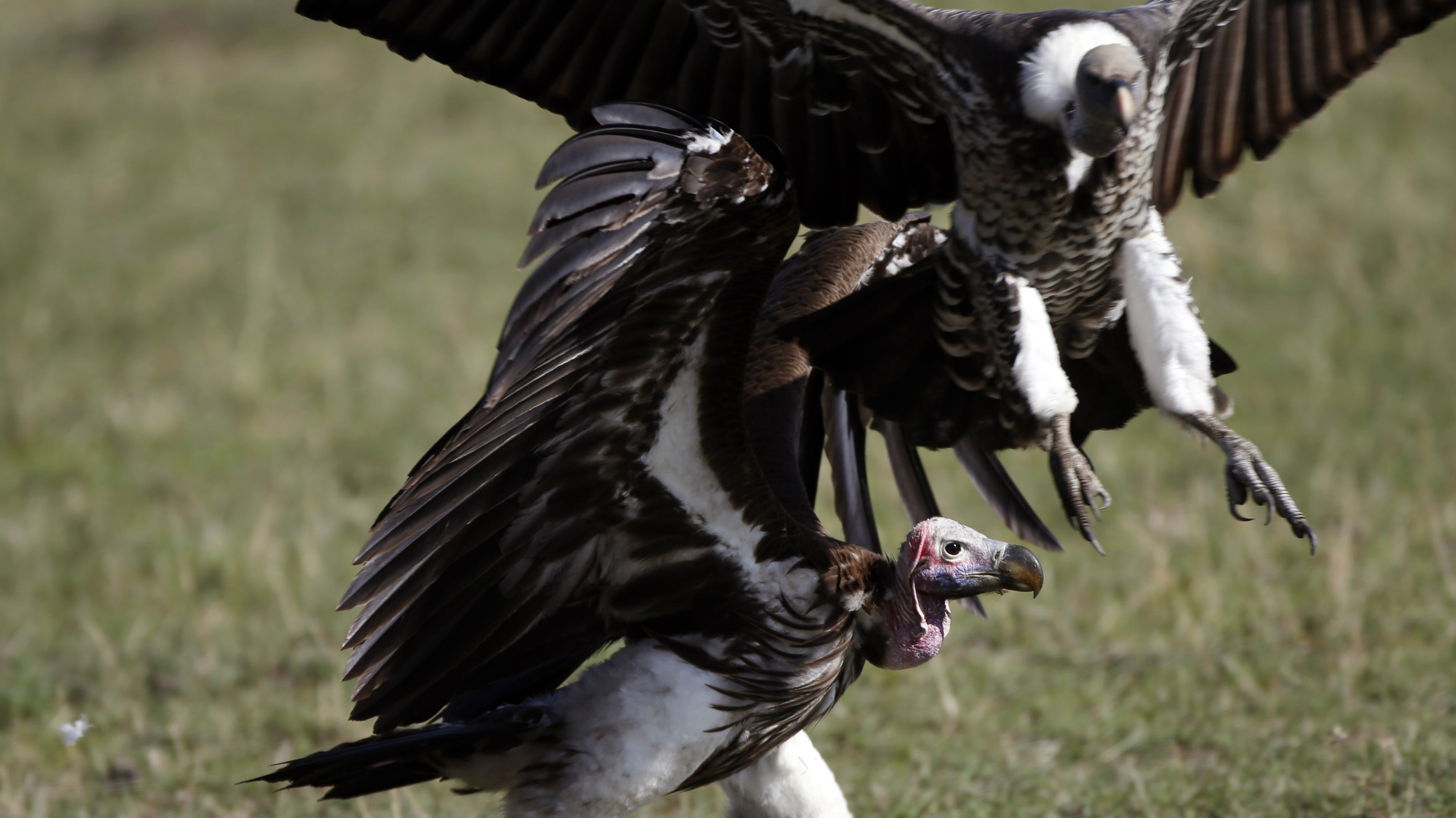 Vultures rush to eat a dead wildebeest in Masai Mara National Reserve October 8, 2014. REUTERS/Goran Tomasevic (