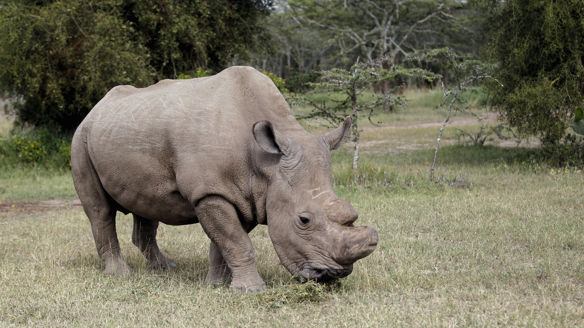 The last surviving male northern white rhino named 'Sudan' grazes at the Ol Pejeta Conservancy in Laikipia national park, Kenya June 14, 2015. A cricket tournament was hosted at the home of the last surviving male northern white rhino, and hopes to raise awareness of the plight of endangered animals and the need for community involvement in conservation.