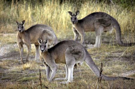 ** FILE ** In this March 15, 2008 file photo, kangaroos are seen at the Belconnen Naval Transmission Station near Canberra, Australia. They bounce across the roof of Parliament House. They collide with cars. They come in through the bedroom window. Canberra, Australia's capital, has a problem _ too many kangaroos. (AP Photo/Mark Graham, File)