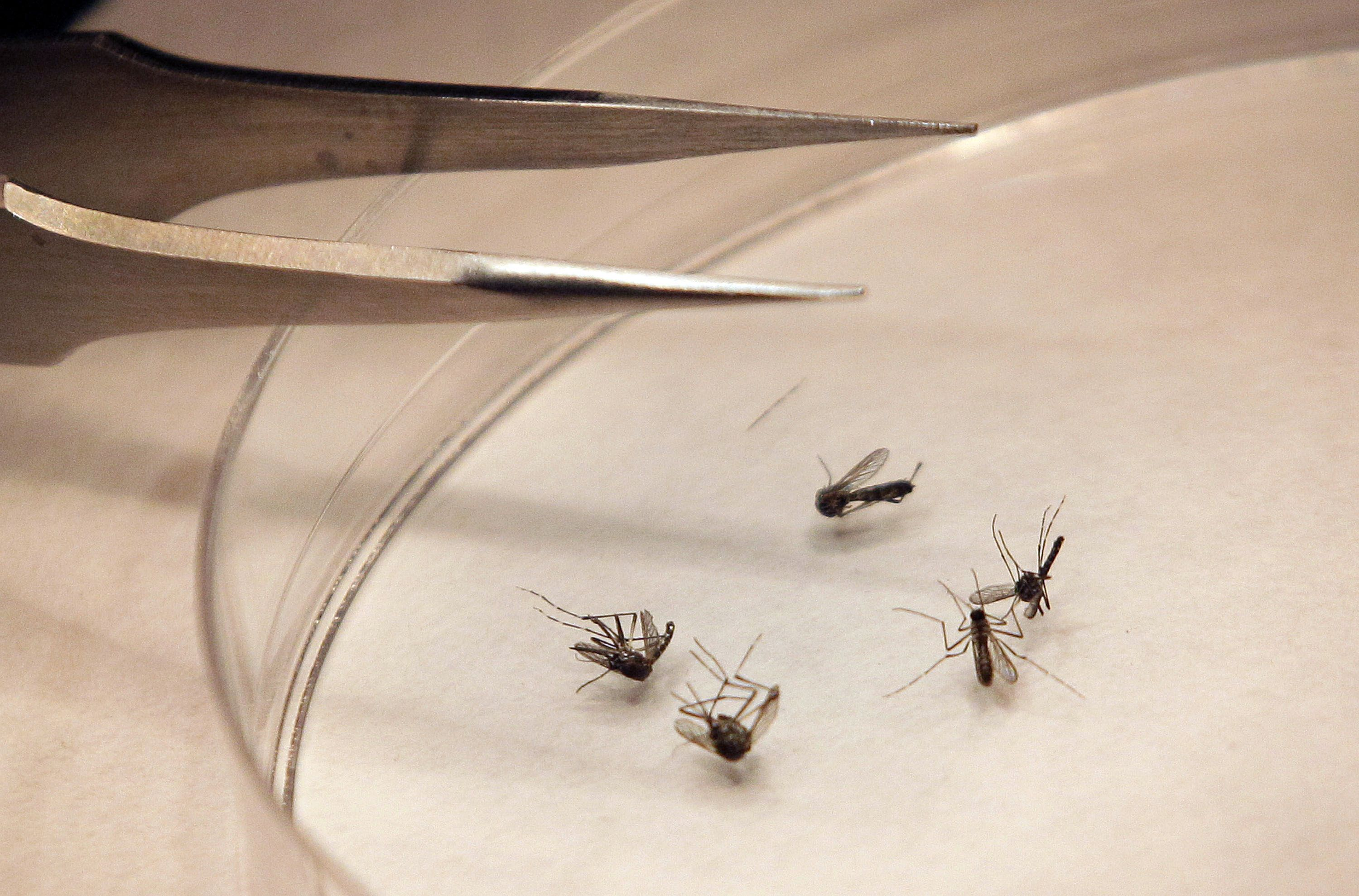 File- In this Aug. 16, 2012 file photo, mosquitos are sorted at the Dallas County mosquito lab in Dallas. A cooler-than-normal spring has slowed the breeding season for mosquitoes, but experts warn this doesn't mean that Texans should let down their guard when it comes to protecting themselves from the West Nile virus. (AP Photo/LM Otero, File)