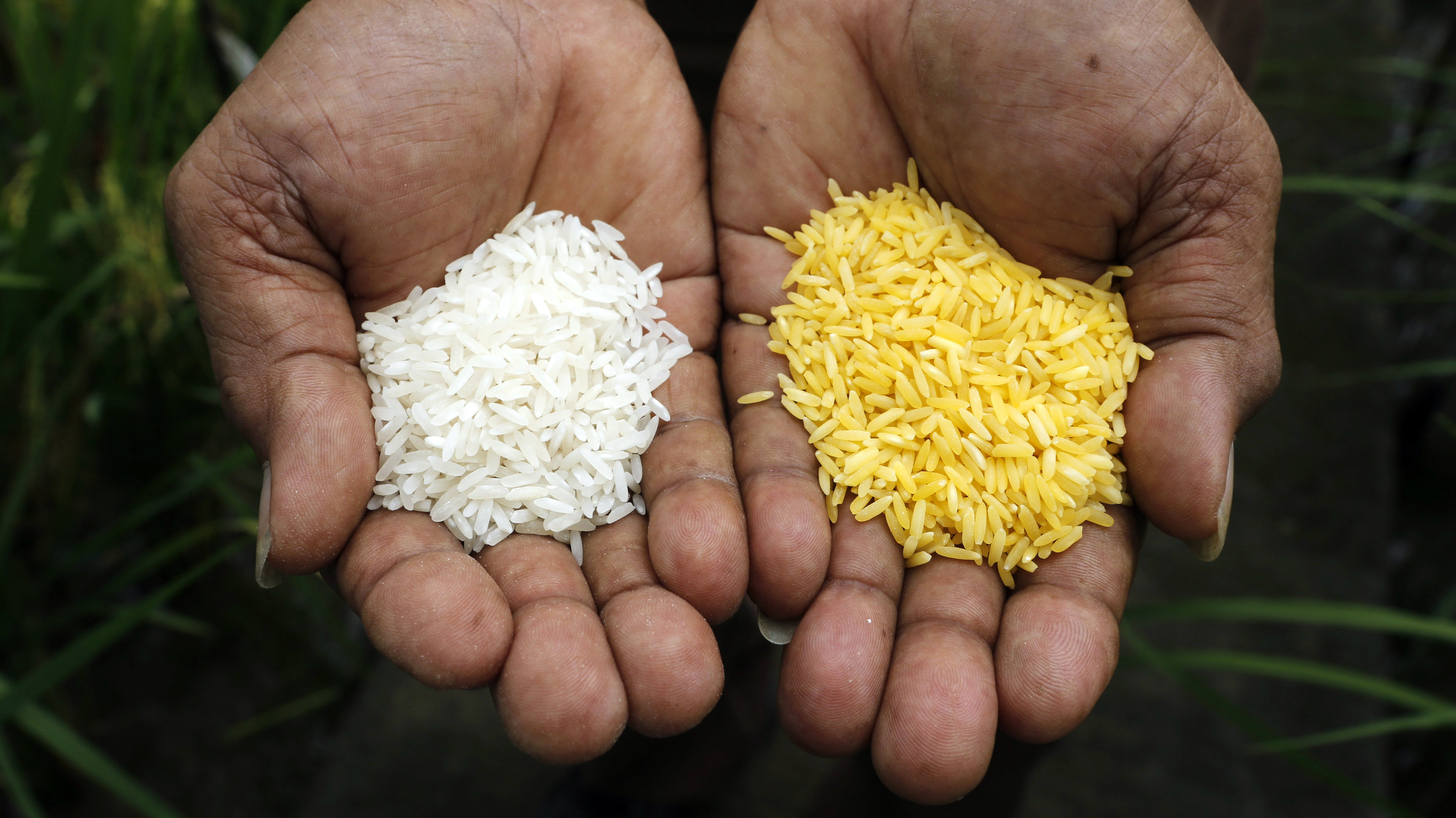 golden-rice-syngenta-monsanto 2