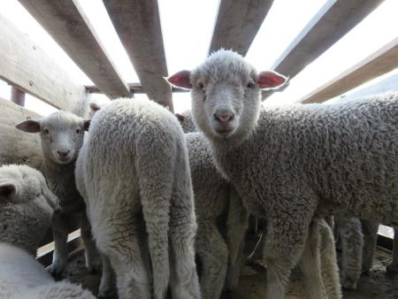 Lambs on one of the Ovis 21 farms