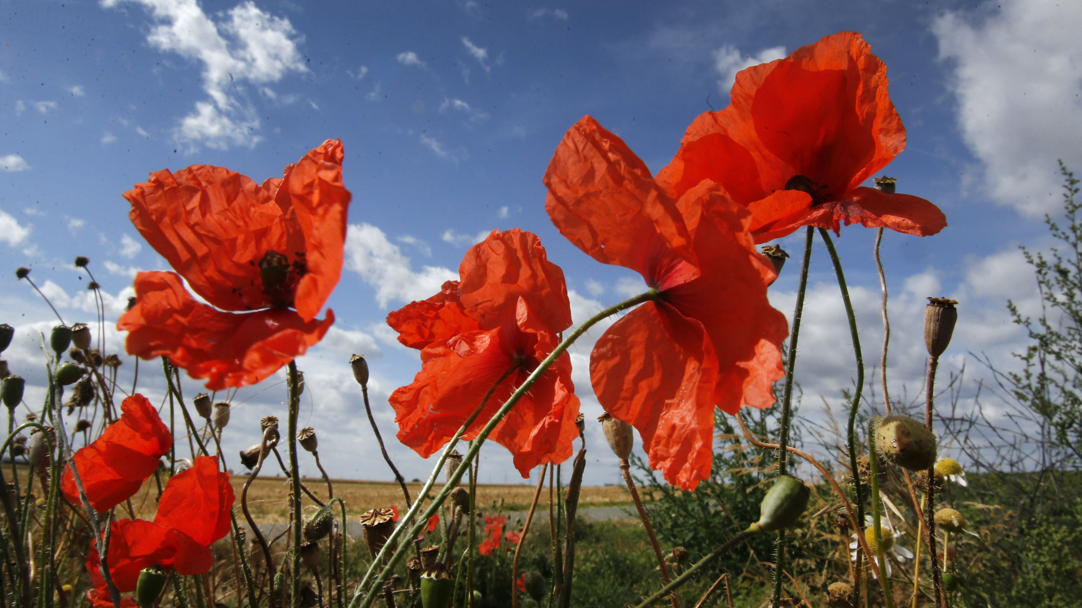 Red poppy blossoms are photographed near Frankfurt, Germany, Tuesday, July 28, 2015. Weather forecasts predict changeable weather for Germany during the next few days.