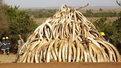 A pile of 15 tonnes of ivory confiscated from smugglers and poachers is arranged before being burnt to mark World Wildlife Day at the Nairobi National Park
