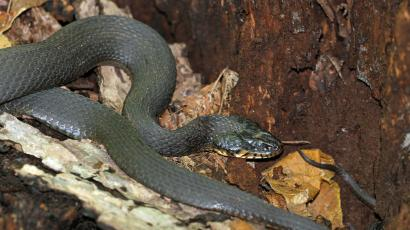 A yellow-bellied water snake.