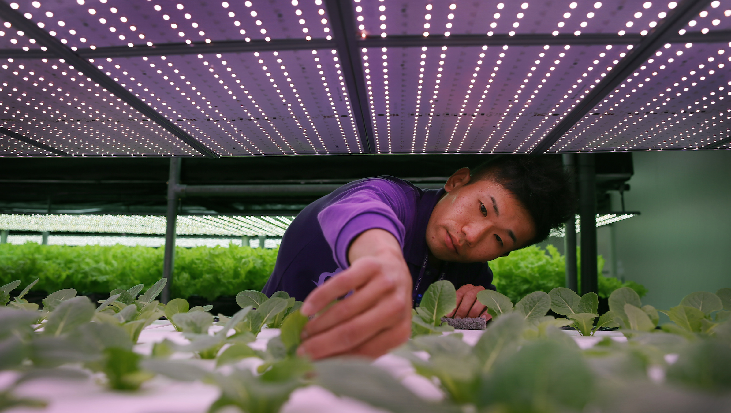 In this photo taken on Wednesday, March 4, 2015, farmer Chang Chen-kai, prunes common salad lettuce growing under banks of LED lights at the ARWIN plant factory in Miaoli, northern Taiwan. Entrepreneurs in Taiwan are combining the island's leading edge in light-emitting diodes (LEDs) with its traditional agricultural know-how to create artificial environments to grow vegetables. These indoor grow-rooms have nutrient-filled water instead of soil and variable LED lighting to imitate the cycle of night and day. They are gaining popularity for raising everything from common lettuce to the exotic South African ice plant, which draws US $400 per kilogram. These LED-lit hydroponic environments yield more crops per area than soil but without the need for traditional toxic pesticides. (AP Photo/Wally Santana)