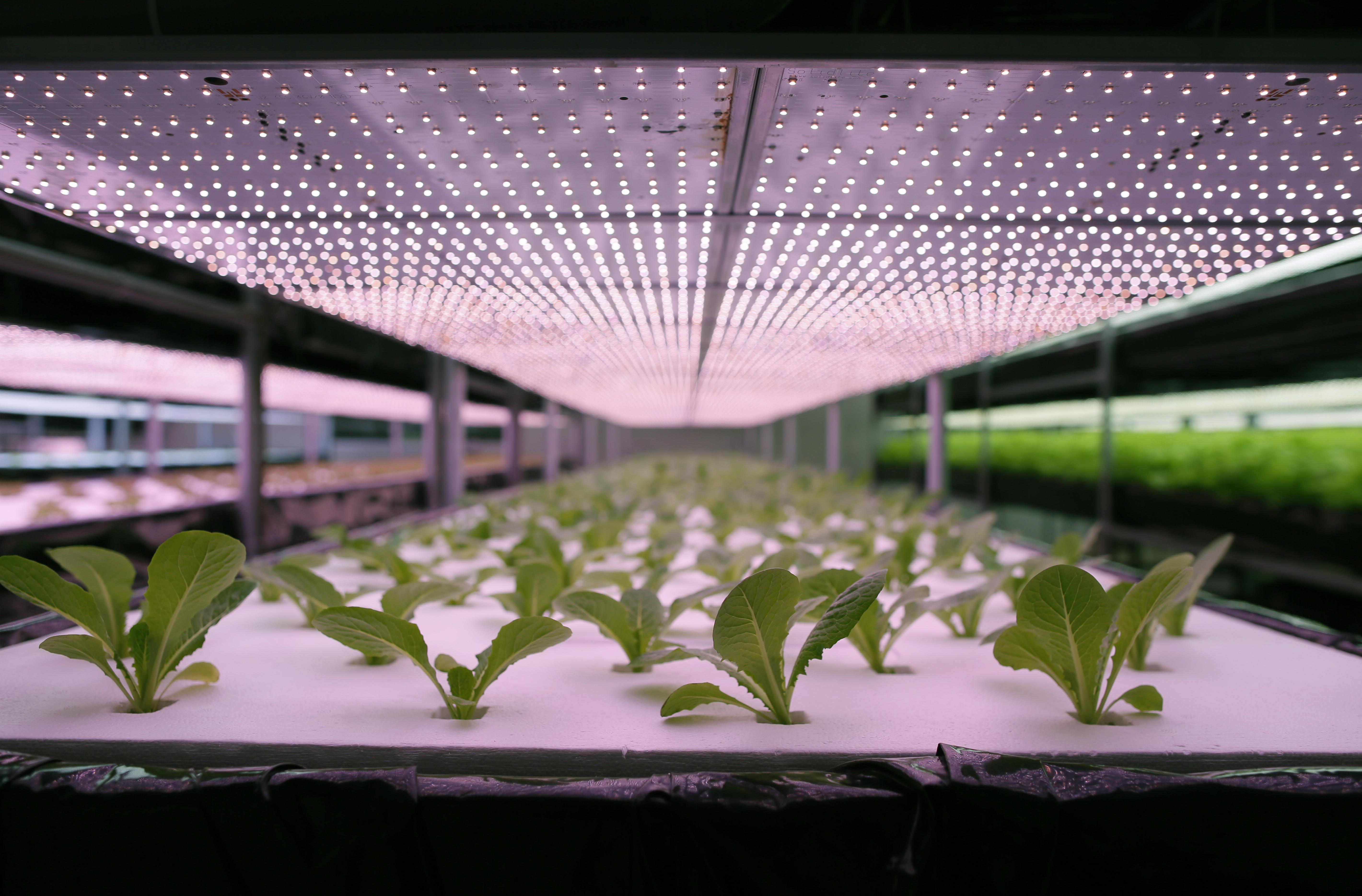 Lettuce factory