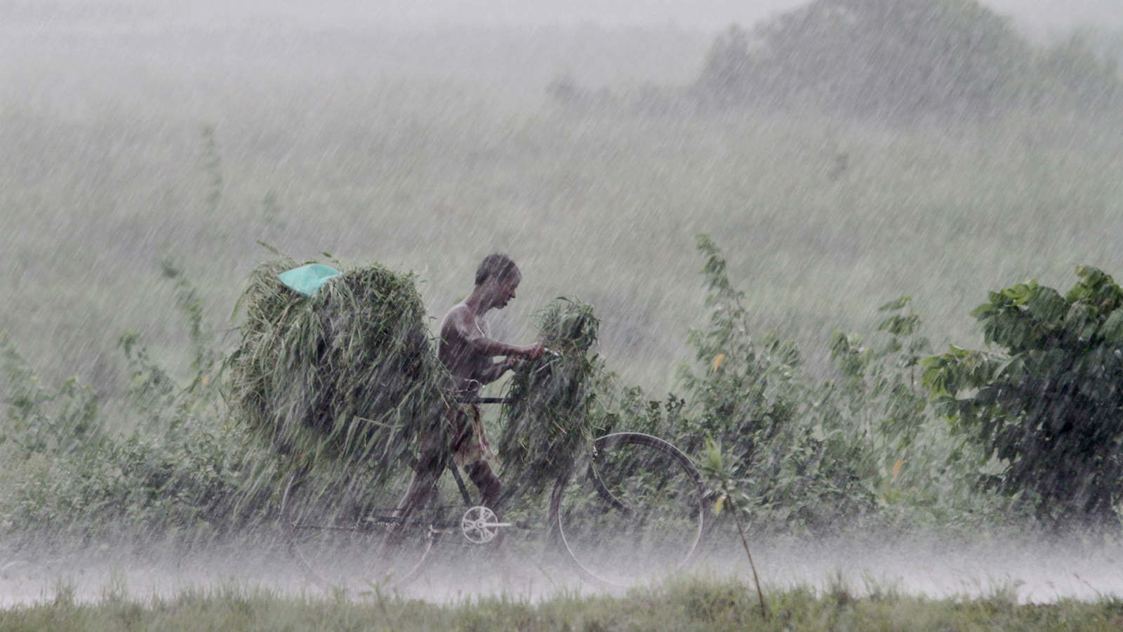 An Indian villager walks back home with a bicycle loaded with grass for his cattle during a heavy downpour on the outskirts of Bhubaneswar, India, Saturday, 11 July 2015.