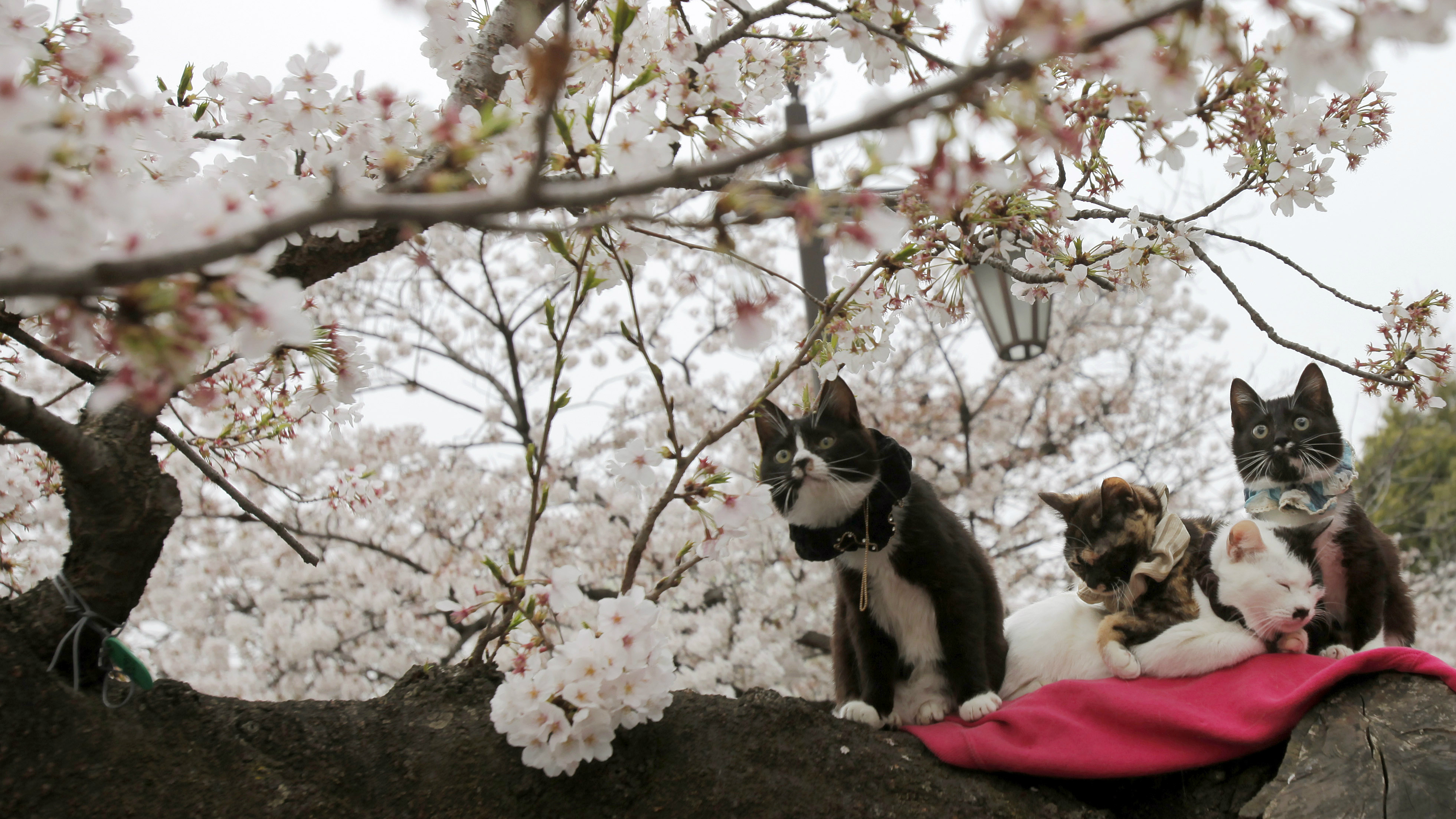 Cats sit on a branch of a cherry tree as cherry blossoms are in full bloom at a park in Tokyo Friday, March 29, 2013.