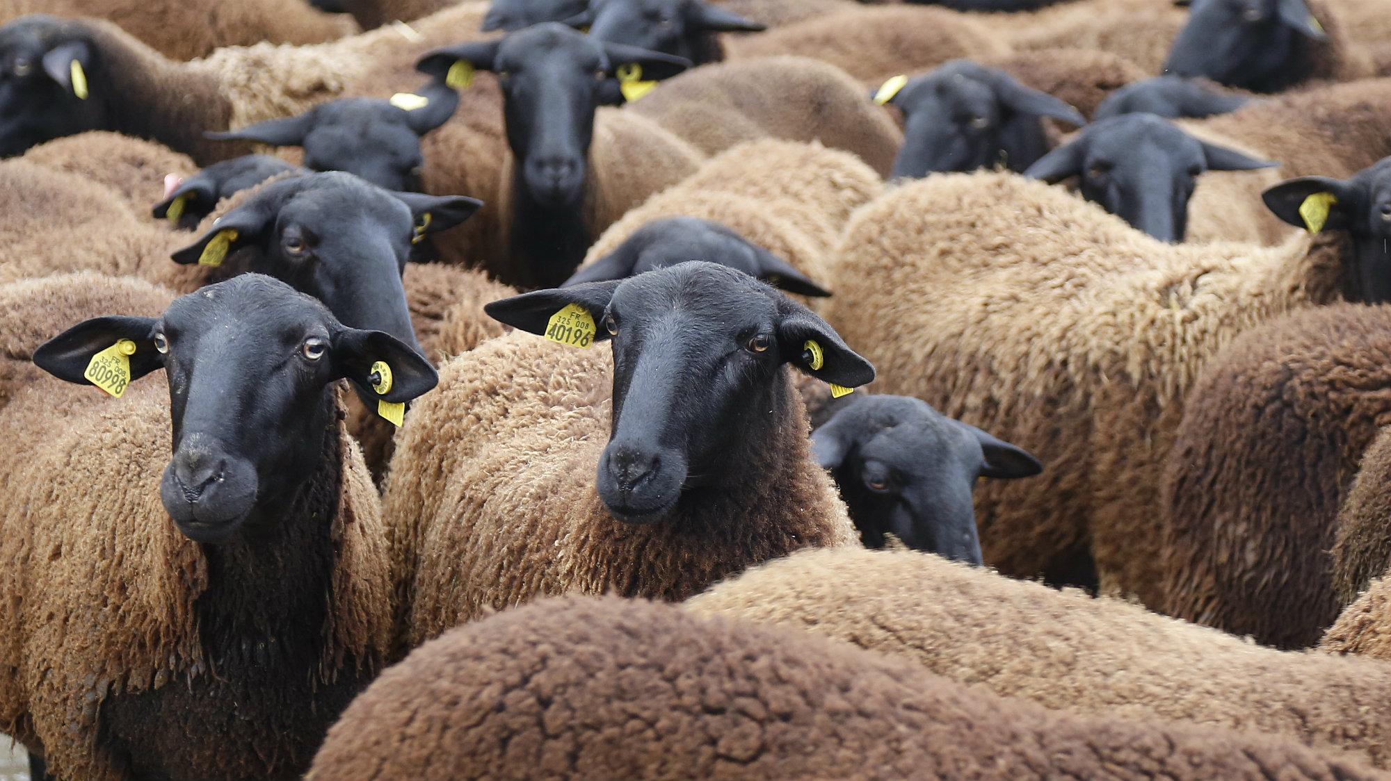 Velay black sheep gather in Paris during a shepherds' demonstration.