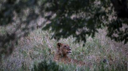 Lion populations in Africa are declining faster than we believed, according to new research.