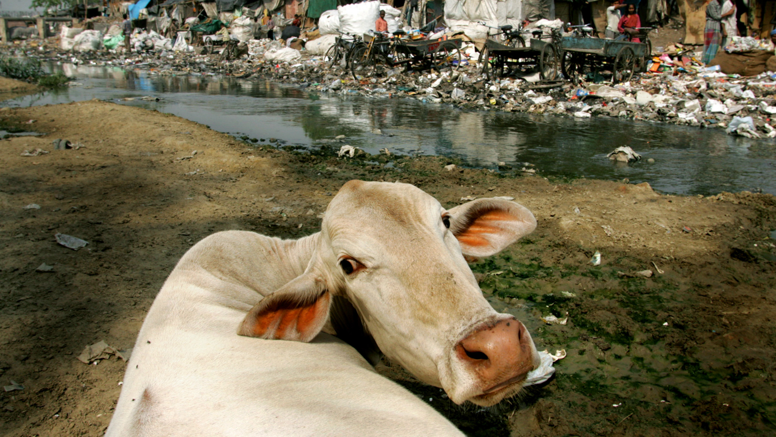 India-cow-garbage