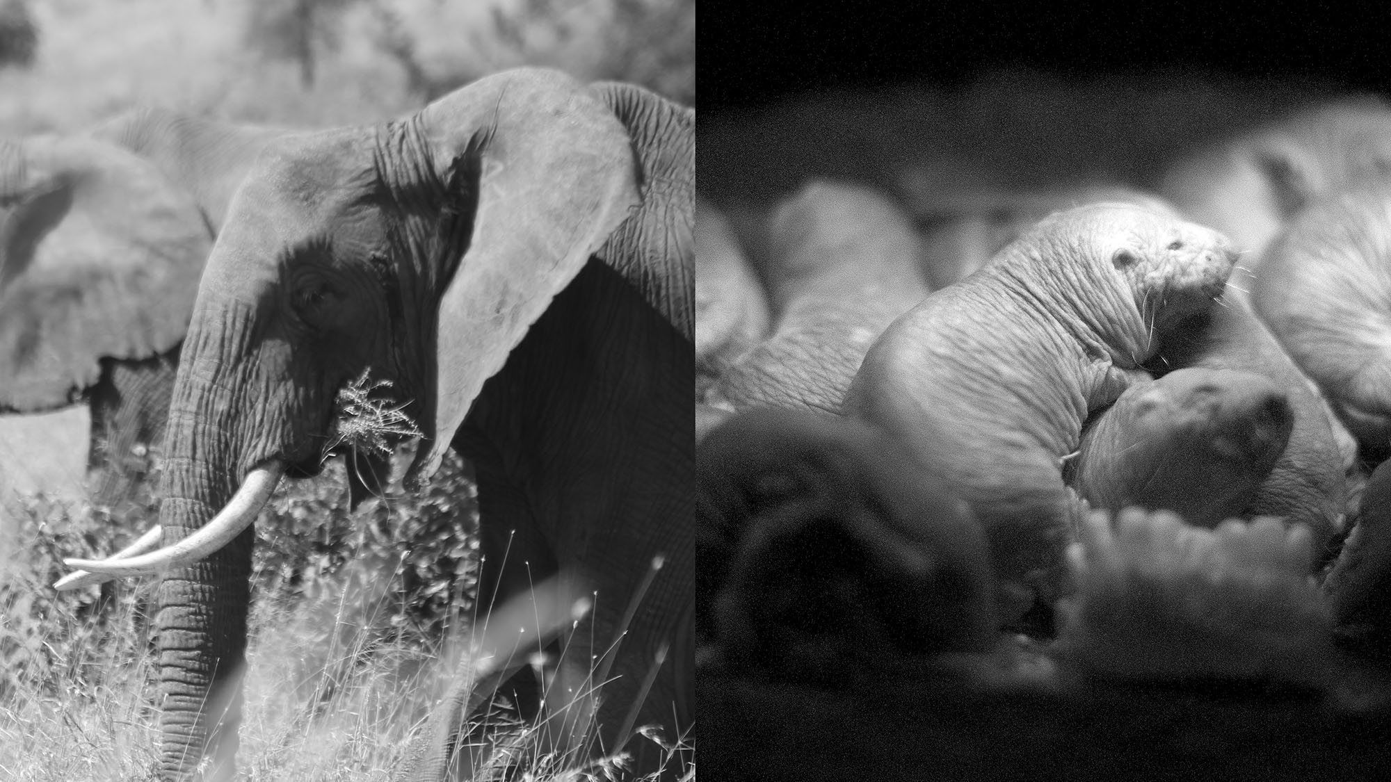 Why elephants and naked mole rats are resistant to cancer — Quartz