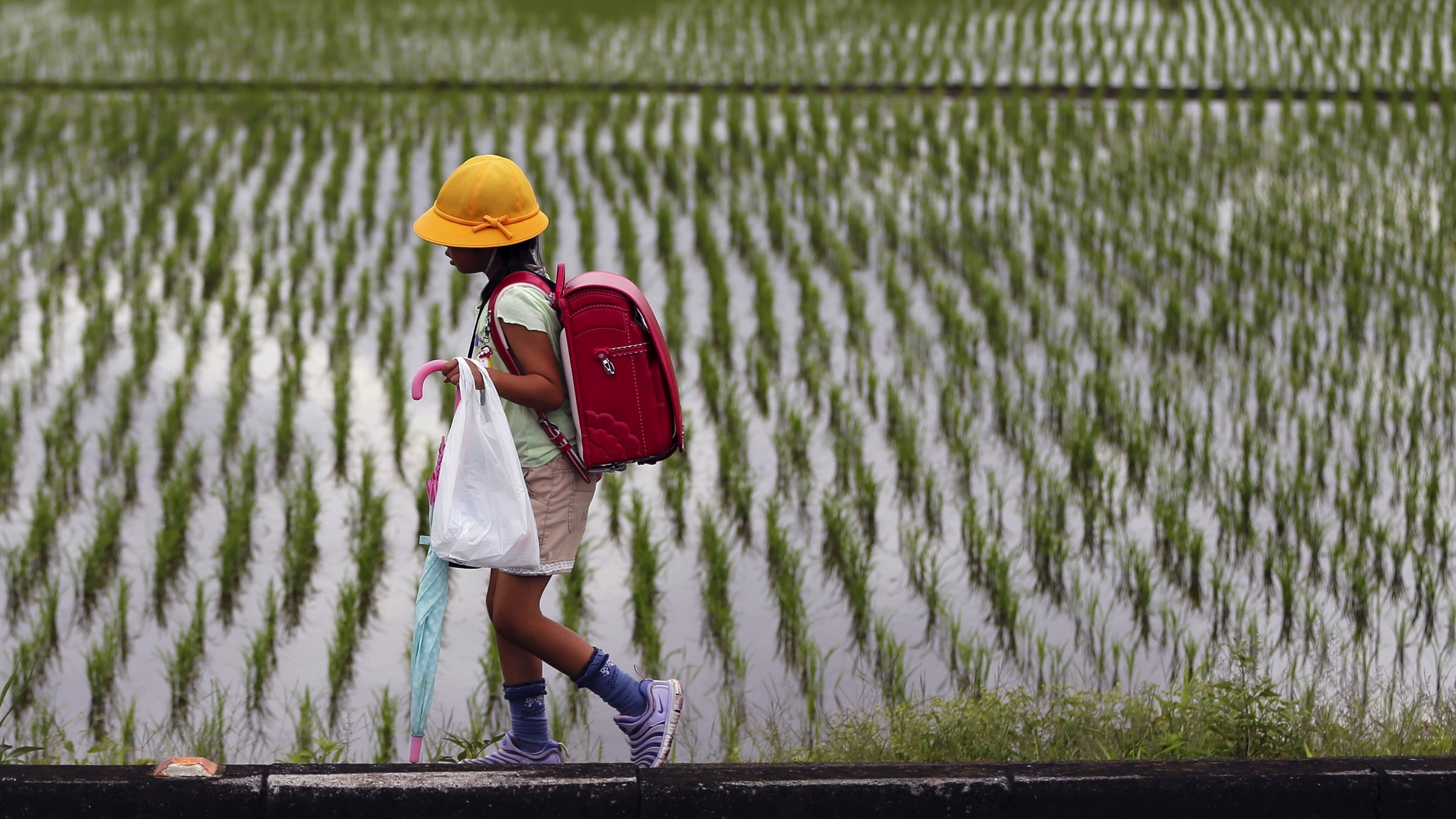 An elementary school student walks past next to a rice paddy field in Kazo