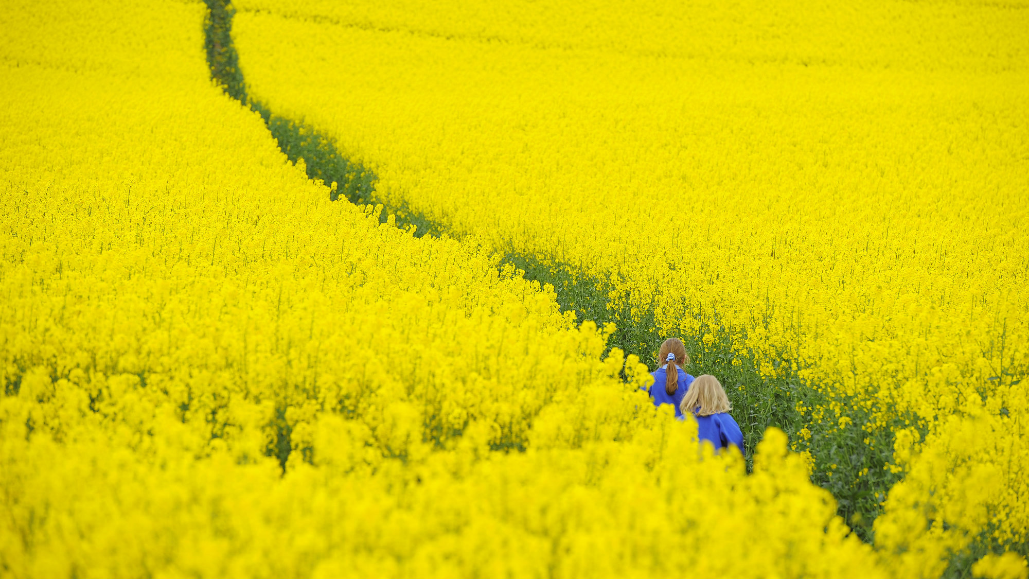 Children walk through a field of rapeseed near Boroughbridge in northern England