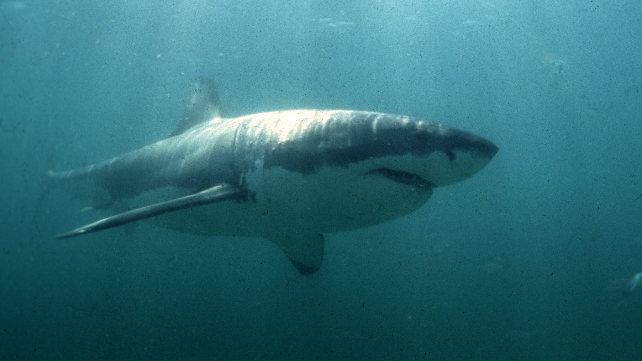 A Great White Shark swims past a diving cage off Gansbaai about 200 kilometres east of Cape Town.
