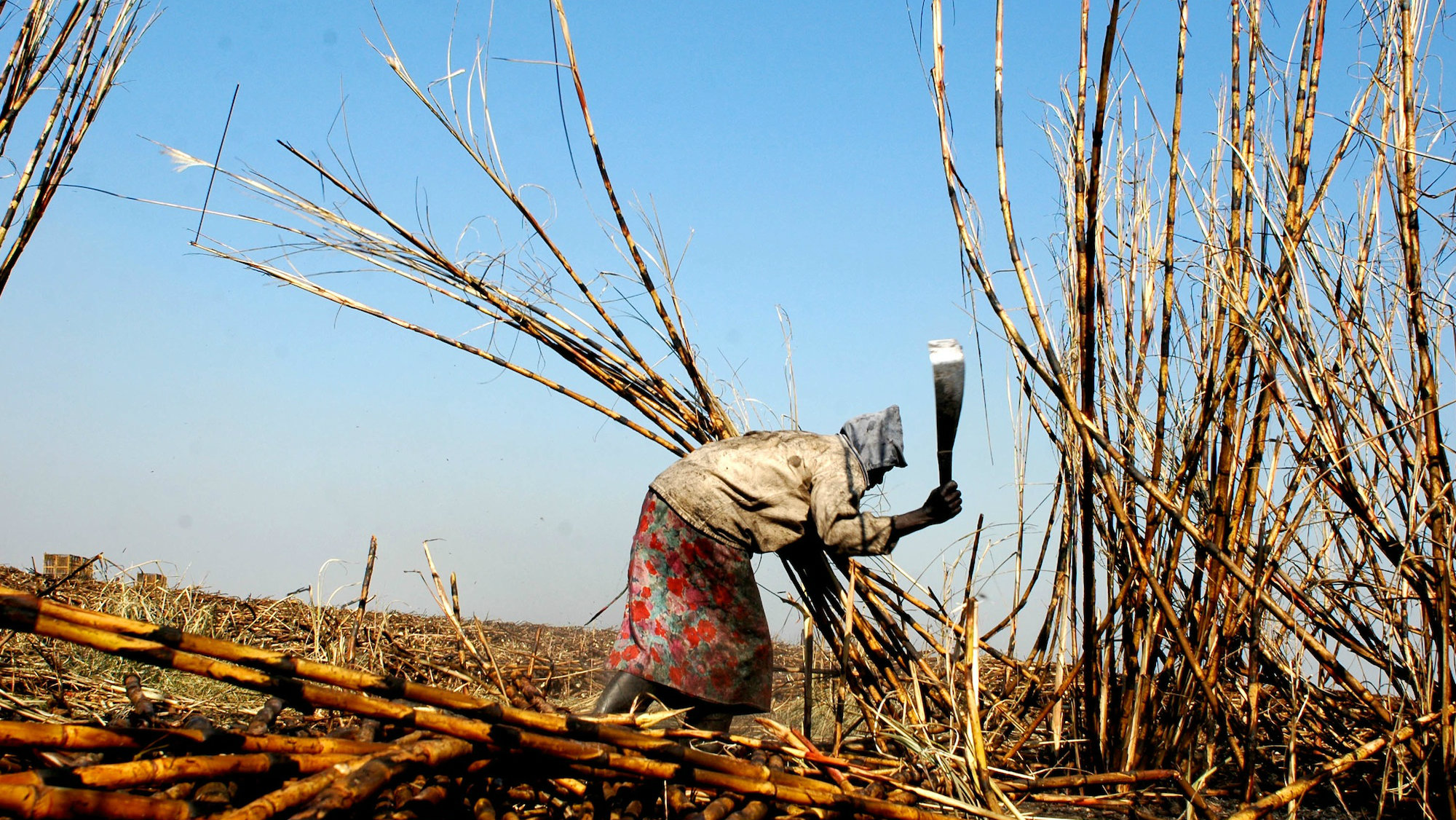 A Mozambiquan sugar worker harvests crops near the capital Maputo.
