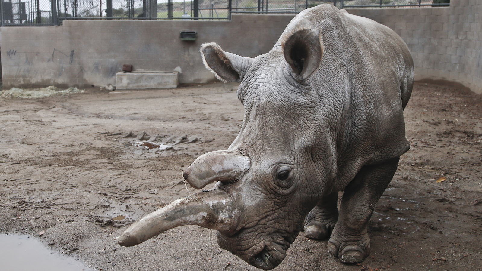 In this Dec. 31, 2014, file photo, Nola, a 40-year-old northern white rhino who is only one of five remaining of the species, wanders around her enclosure at the San Diego Zoo Safari Park on a cold winter day in Escondido, Calif. Six female southern white rhinos arrived on a chartered MD11 flight from South Africa landed at the San Diego International Airport on Thursday, Nov. 5, 2015.  San Diego Zoo Global has one of the most successful rhino breeding programs in the world. To date, a total of 94 southern white rhinos, 68 greater one-horned rhinos and 14 black rhinos have been born at the San Diego Zoo Safari Park.