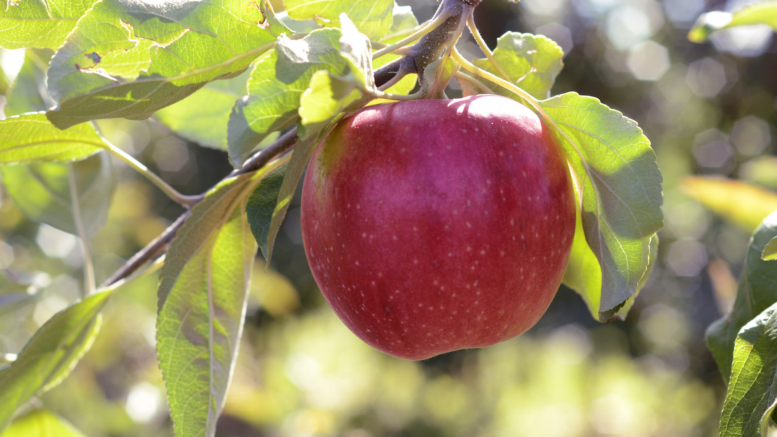 A new apple variety that is part of the Cornell University apple breeding program, hangs on a branch at the university's Fruit and Vegetable Research Farm in Geneva, N.Y., Monday, Sept. 23, 2013.