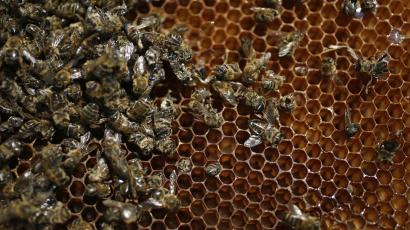Bee colony in a hive.