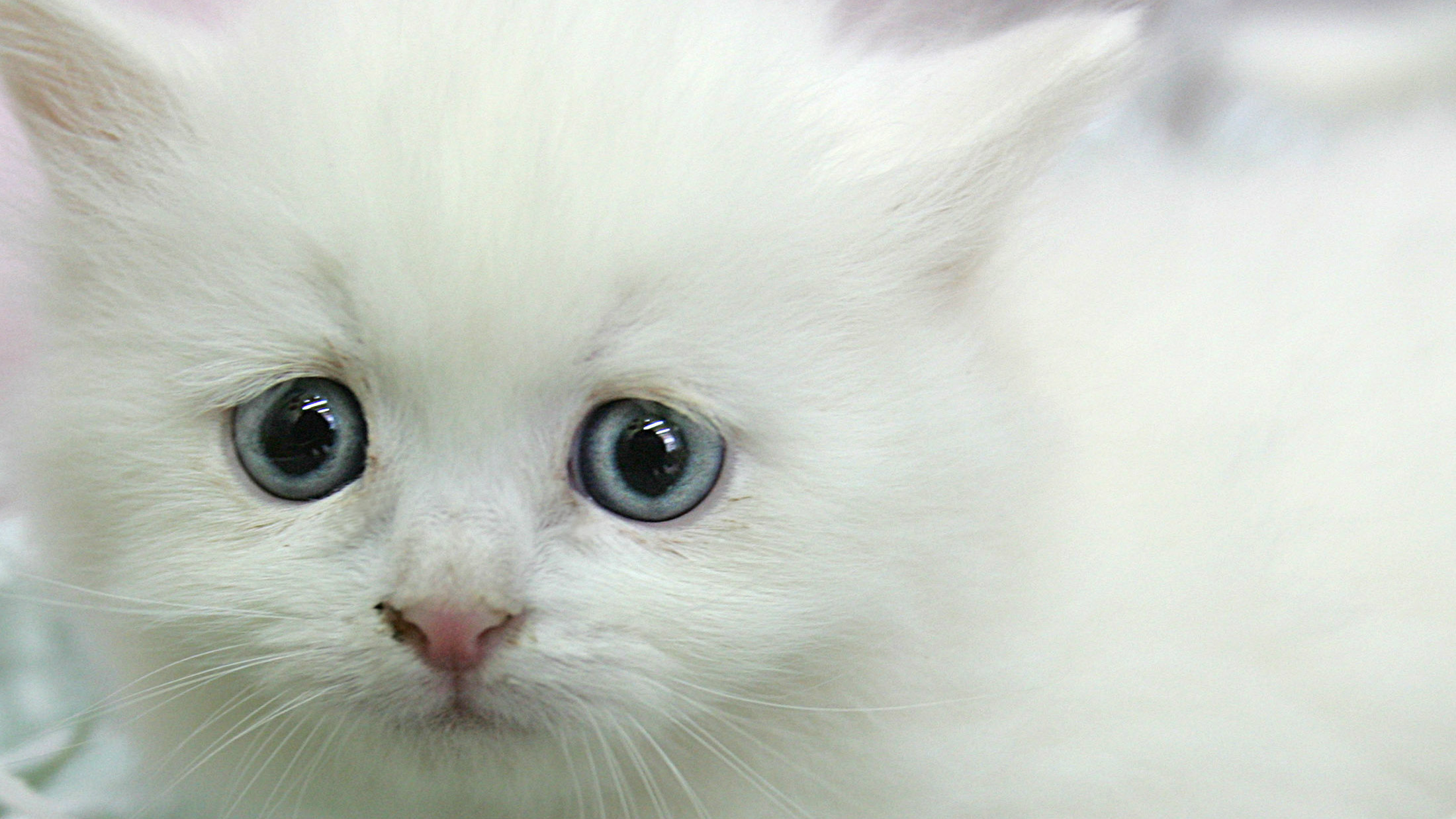 A one-month-old kitten sits in a pet shop in Amman.