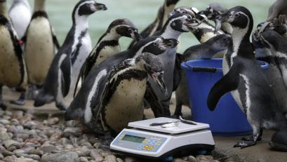 Humboldt Penguins are led to the weighing scales with a feed of anchovies to encourage them at London Zoo.