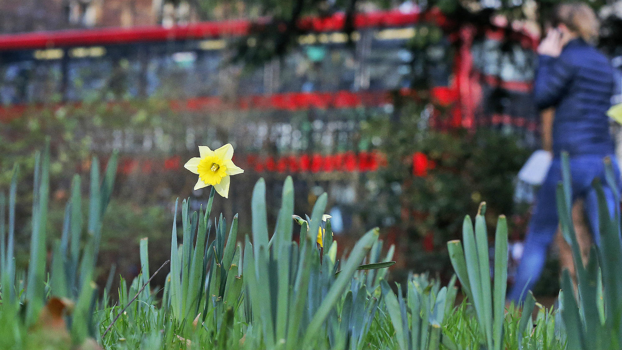 Daffodils grow in a Russell Square garden in London, Wednesday, Dec. 16, 2015. The UK could be set for the warmest December in almost 70 years as temperatures of 16C, 60F, around 10C above the average for this time of year. The weather has been so mild that daffodils, normally a symbol of spring, have been begun flowering as far north as Chester and Northern Ireland.