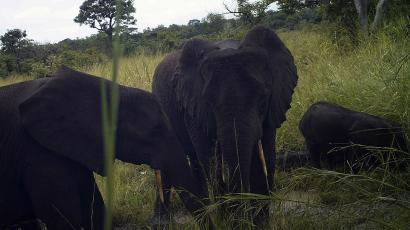 A forest elephant in South Sudan's Western Equatoria state.