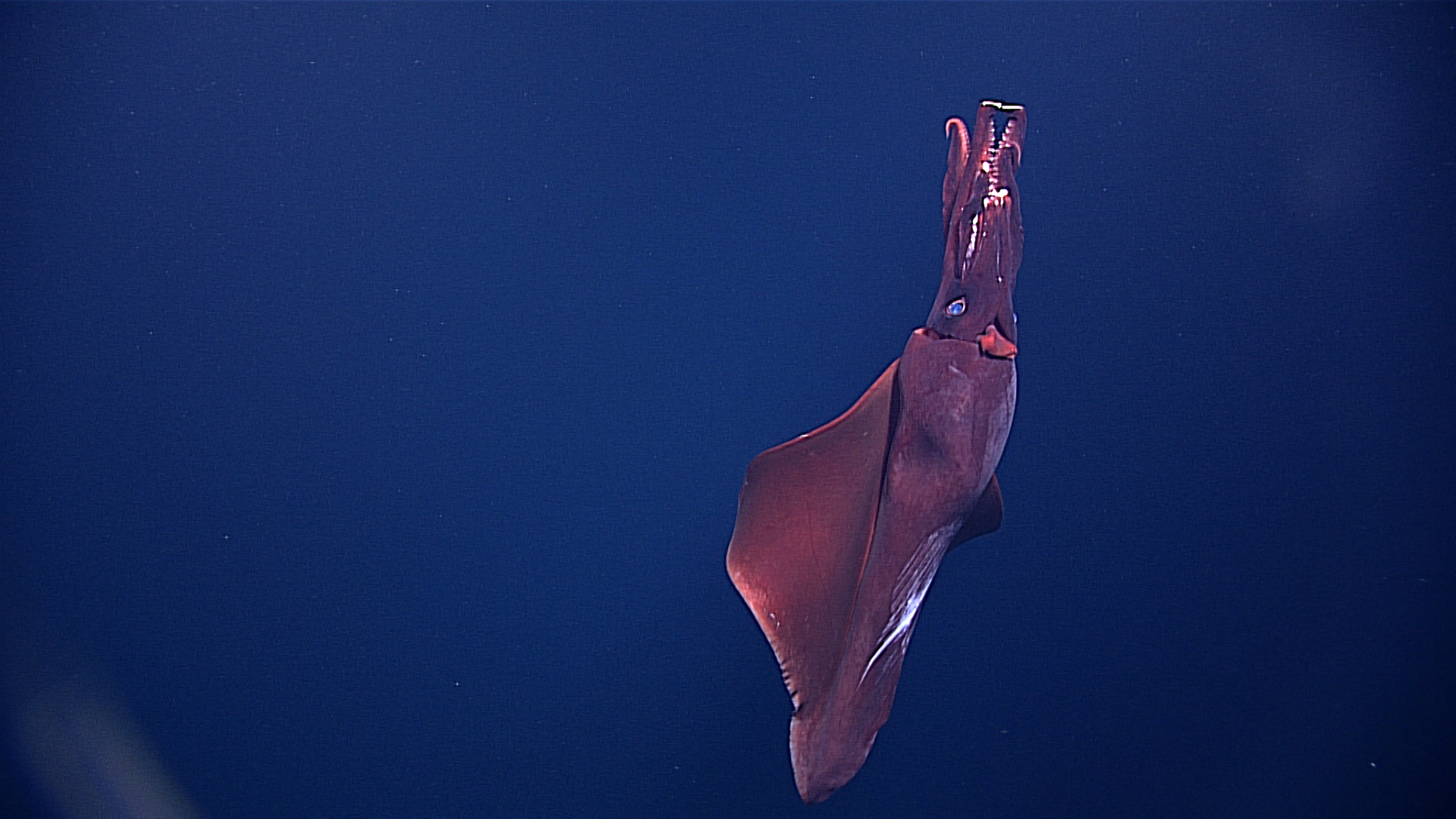 Deep-sea squid