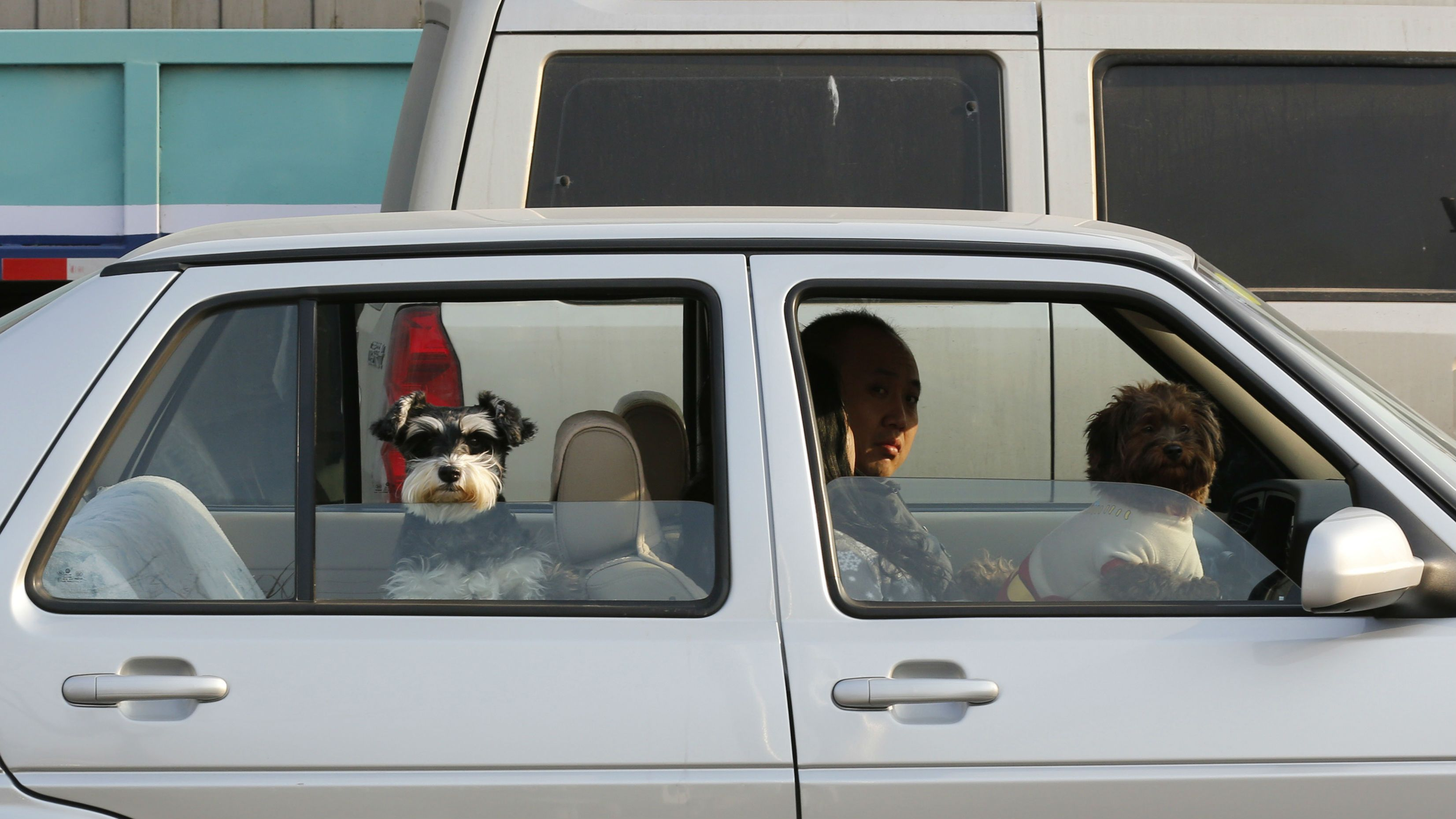 Pet dogs look out of the windows of their owners' car in Beijing February 15, 2013. REUTERS/Kim Kyung-Hoon (CHINA - Tags: ANNIVERSARY SOCIETY ANIMALS TRANSPORT)