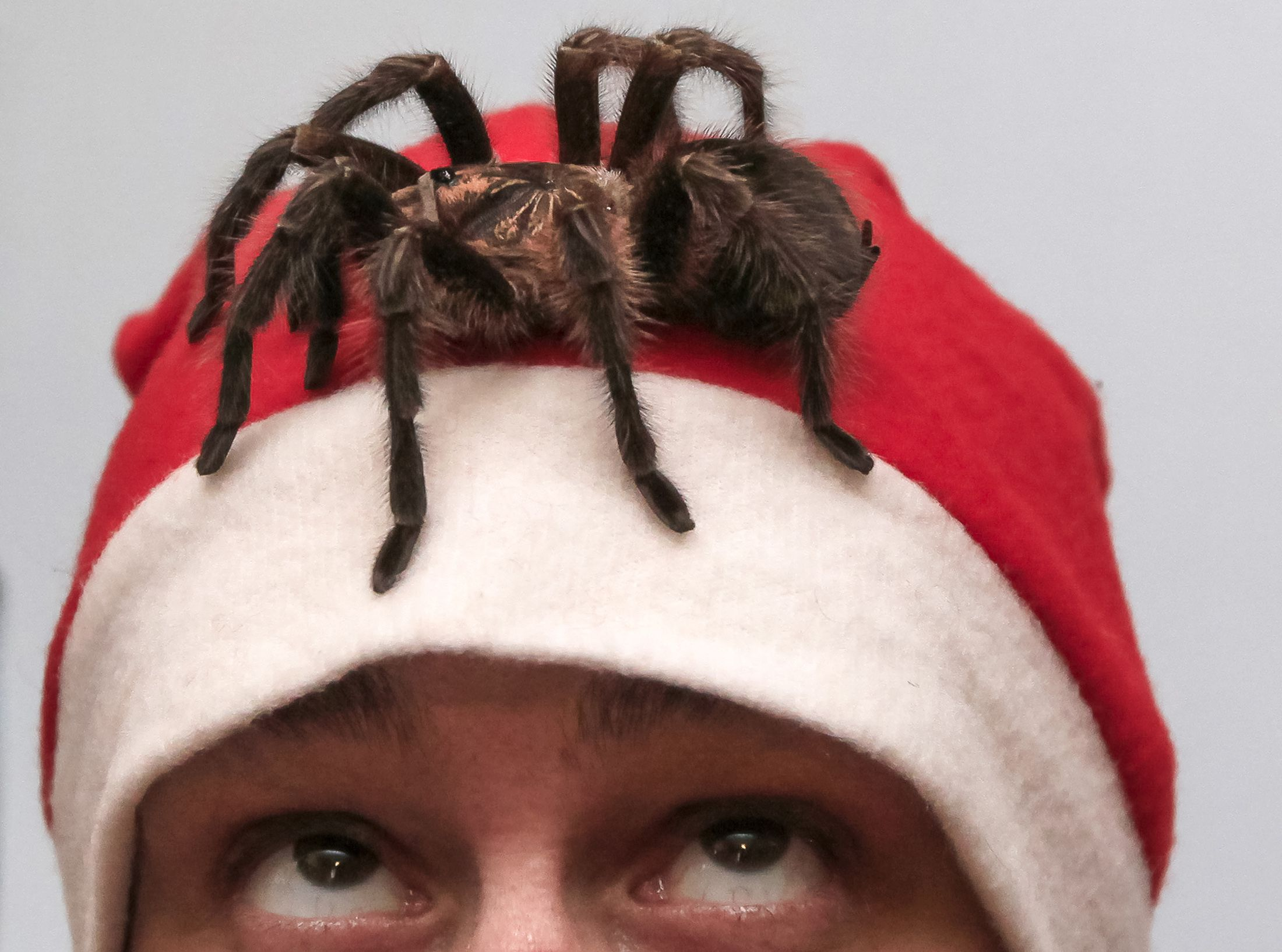 An amateur spider keeper, Yegor Konkin, 24, dressed as Santa Claus, watches a venomous Phormictopus antillensis spider on his head as he prepares for Christmas and New Year performances at his parents' apartment in the town of Minusinsk, November 29, 2013. Konkin, a hobbyist who has collected spiders for four years, lives in St. Petersburg and in Minusinsk and keeps approximately 50 venomous spiders of various species, which are deadly to humans and animals.  REUTERS/Ilya Naymushin  (RUSSIA - Tags: ANIMALS SOCIETY TPX IMAGES OF THE DAY) - RTX15X49