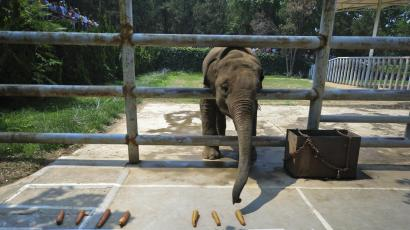d690537de Zimbabwe plans to capture baby elephants from the wild and sell them to  China