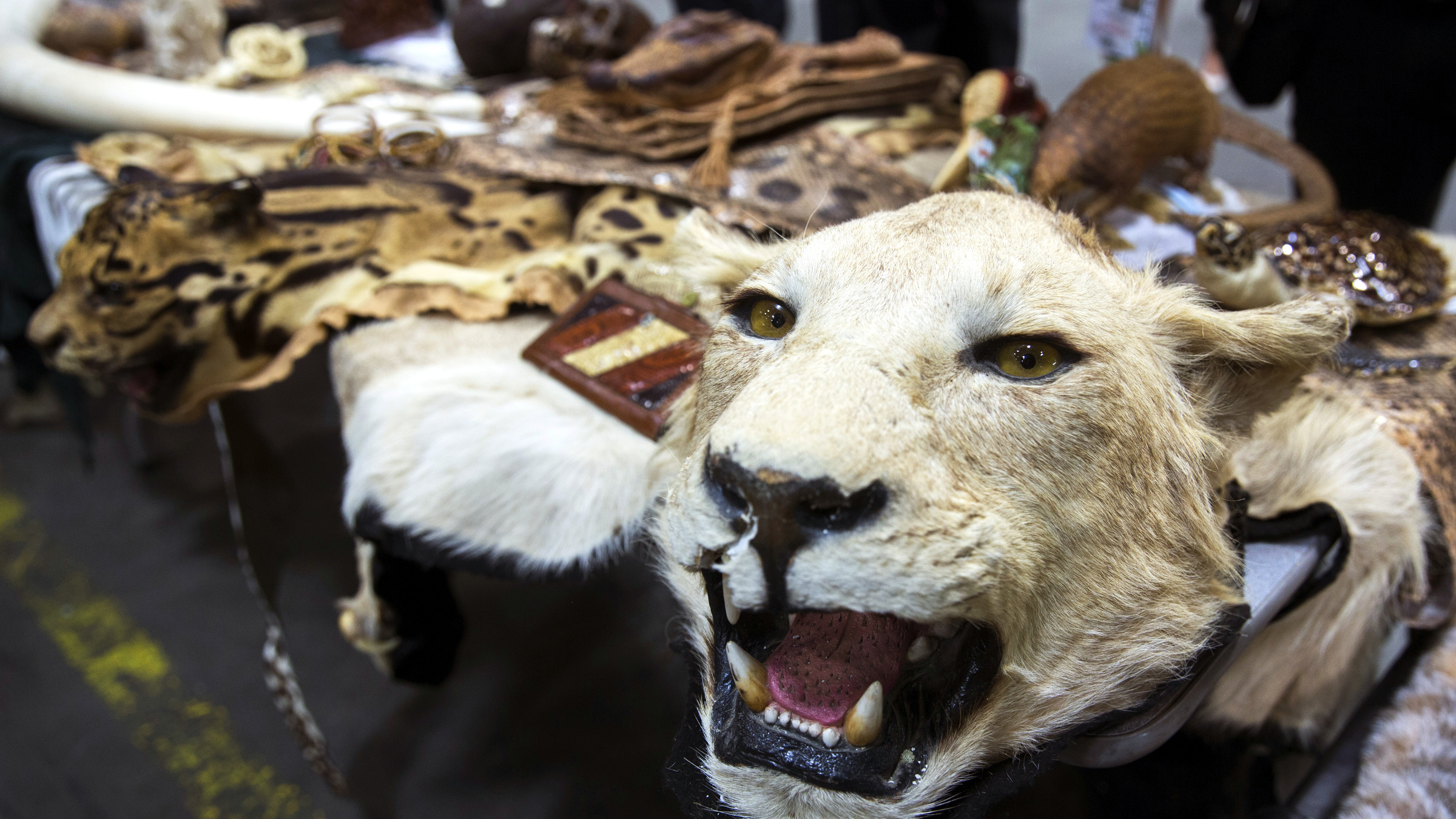 A lion skin is displayed on a table put together by the U.S. Fish and Wildlife Service to show examples of confiscated animal by-products during a tour of a bonded warehouse at John F. Kennedy International Airport in New York June 16, 2014.