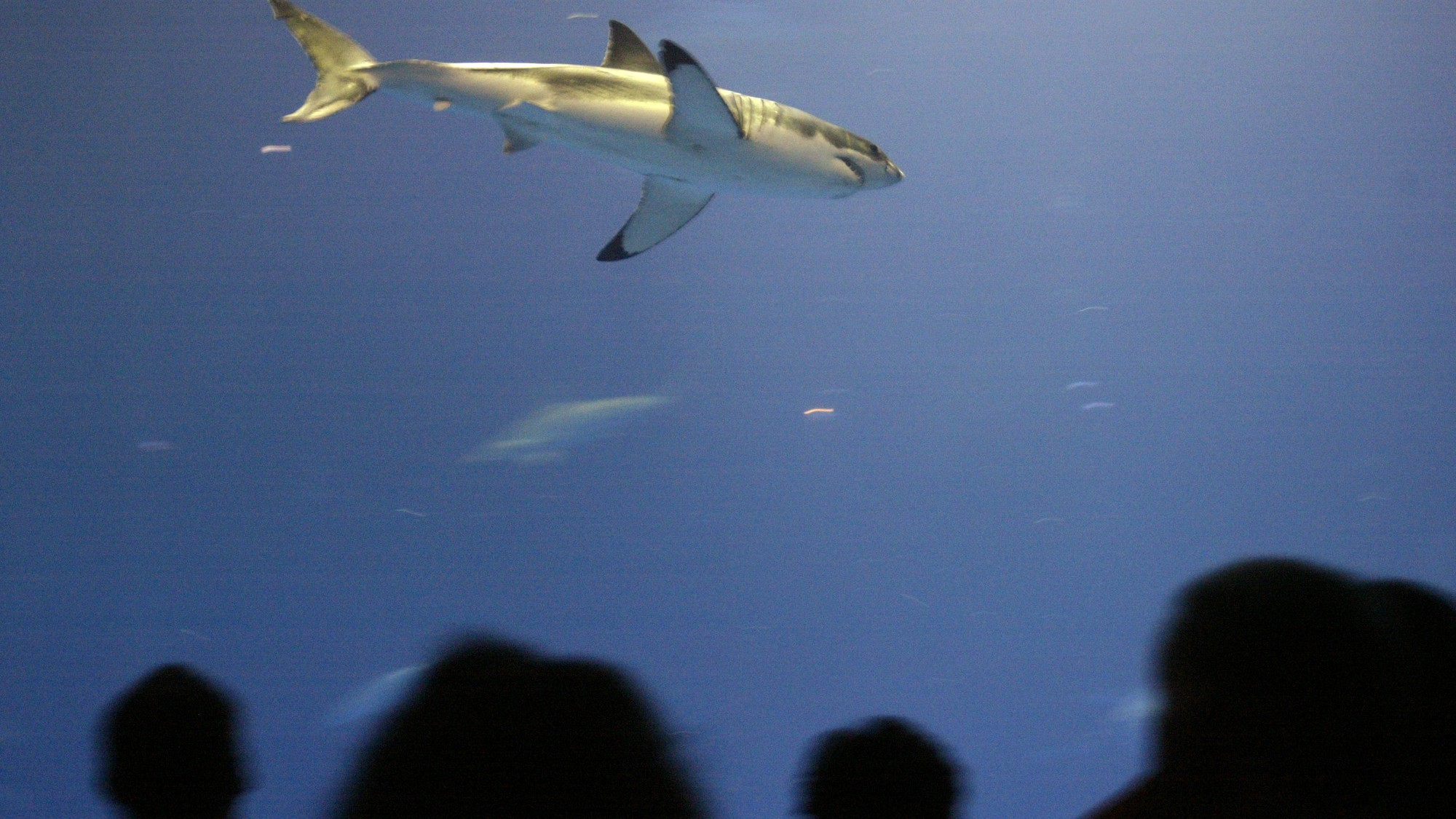 A great white shark died just three days after it was put ...