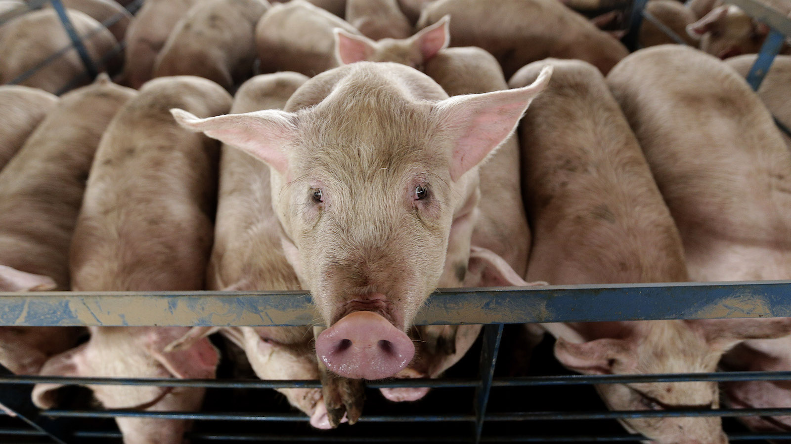 In this photo taken Nov. 11. 2015, a pig looks out of its pen at Seabord Foods' Ladder Creek hog feeding operation near Tribune, Kan. The operation is the nation's second largest confined hog feeding farm and the company is set to build another site nearby if granted a permit by the state. The company is pumping wells that had been idled for a decade. Environmentalists and some residents fear that instead of preserving the remaining water for residents, the county will be a desert once the hogs and the water are long gone. (AP Photo/Charlie Riedel)