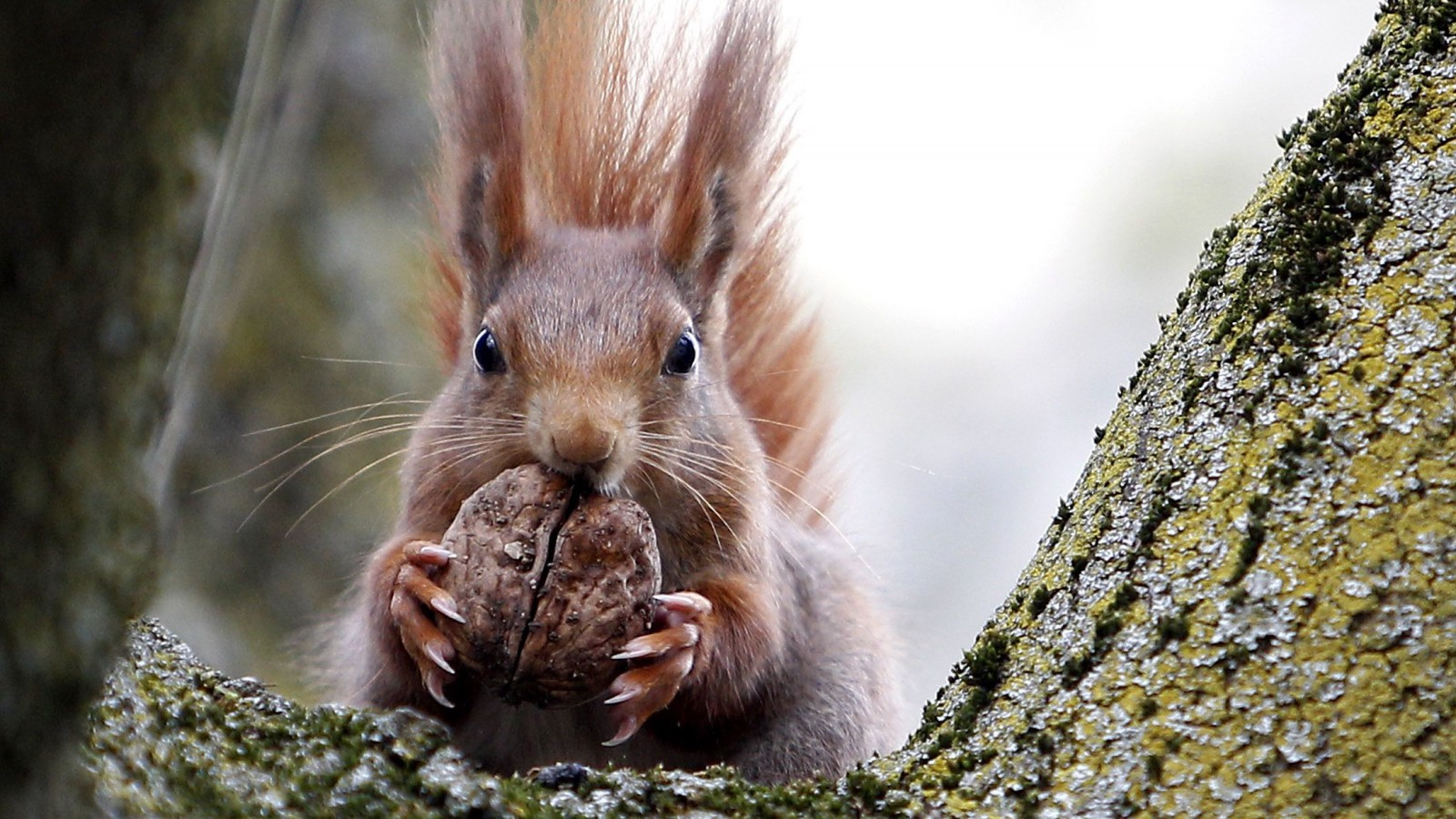 A red squirrel sits in a tree as it holds a walnut in Frankfurt's city centre April 19, 2013.